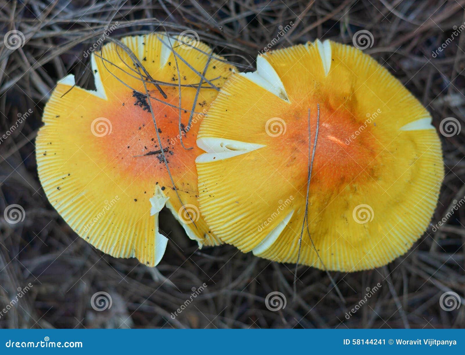 грибы фото желтые