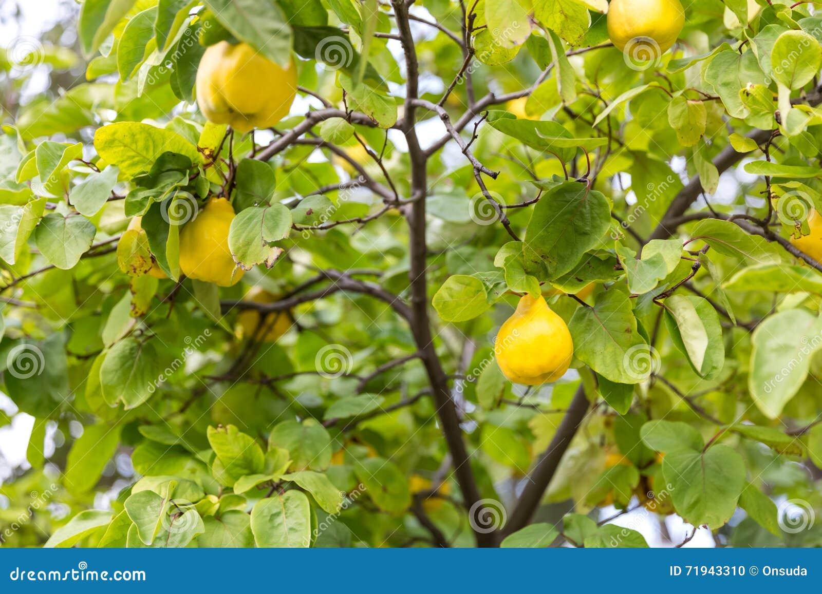 Желтые груши на дереве