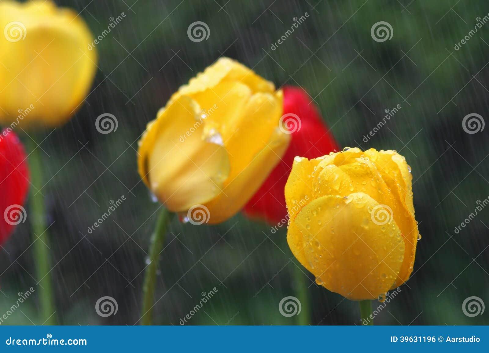 Желтые и красные тюльпаны в дожде с DOF на более низком правом желтом тюльпане