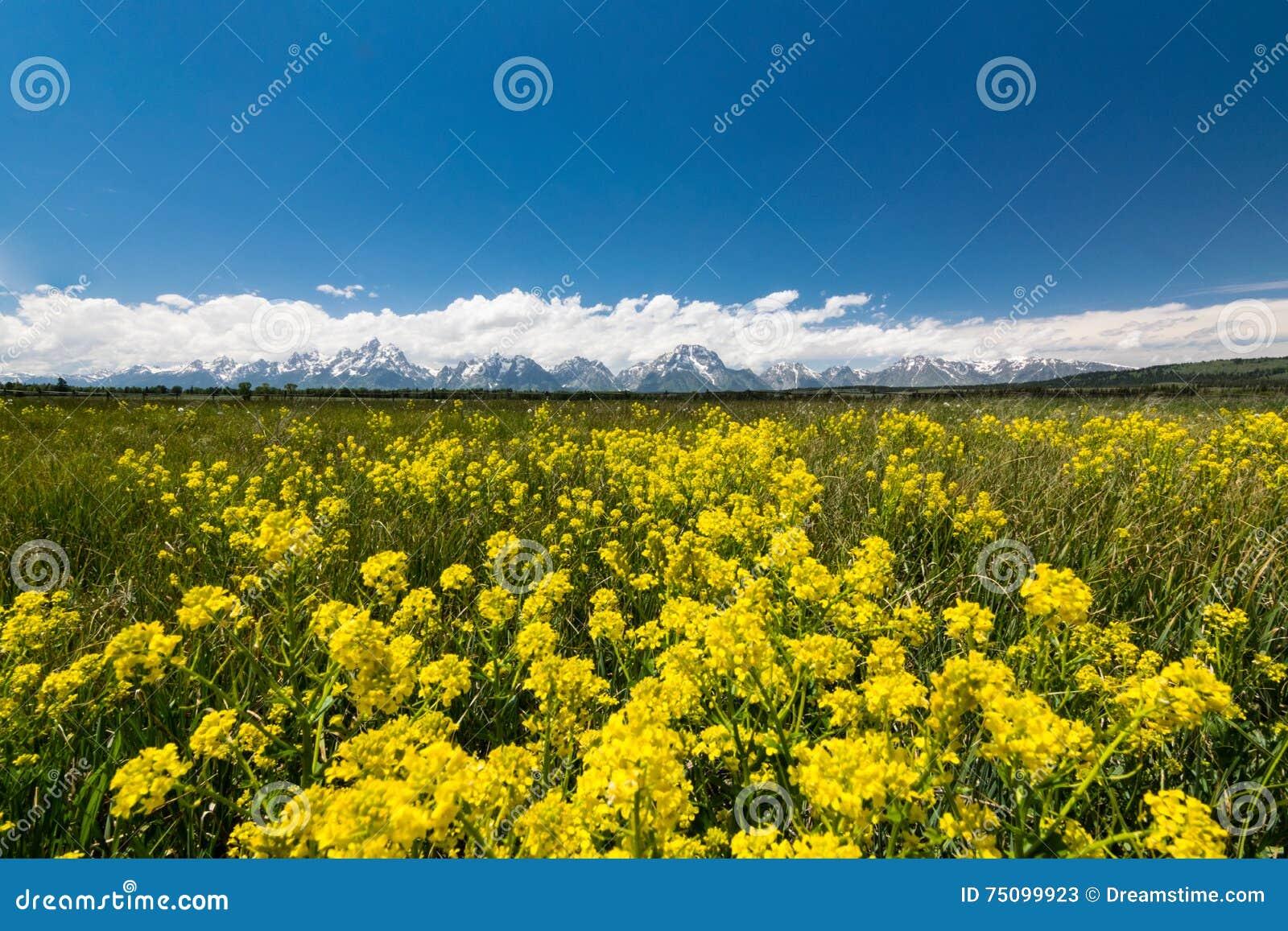 Желтые луга на грандиозном национальном парке teton