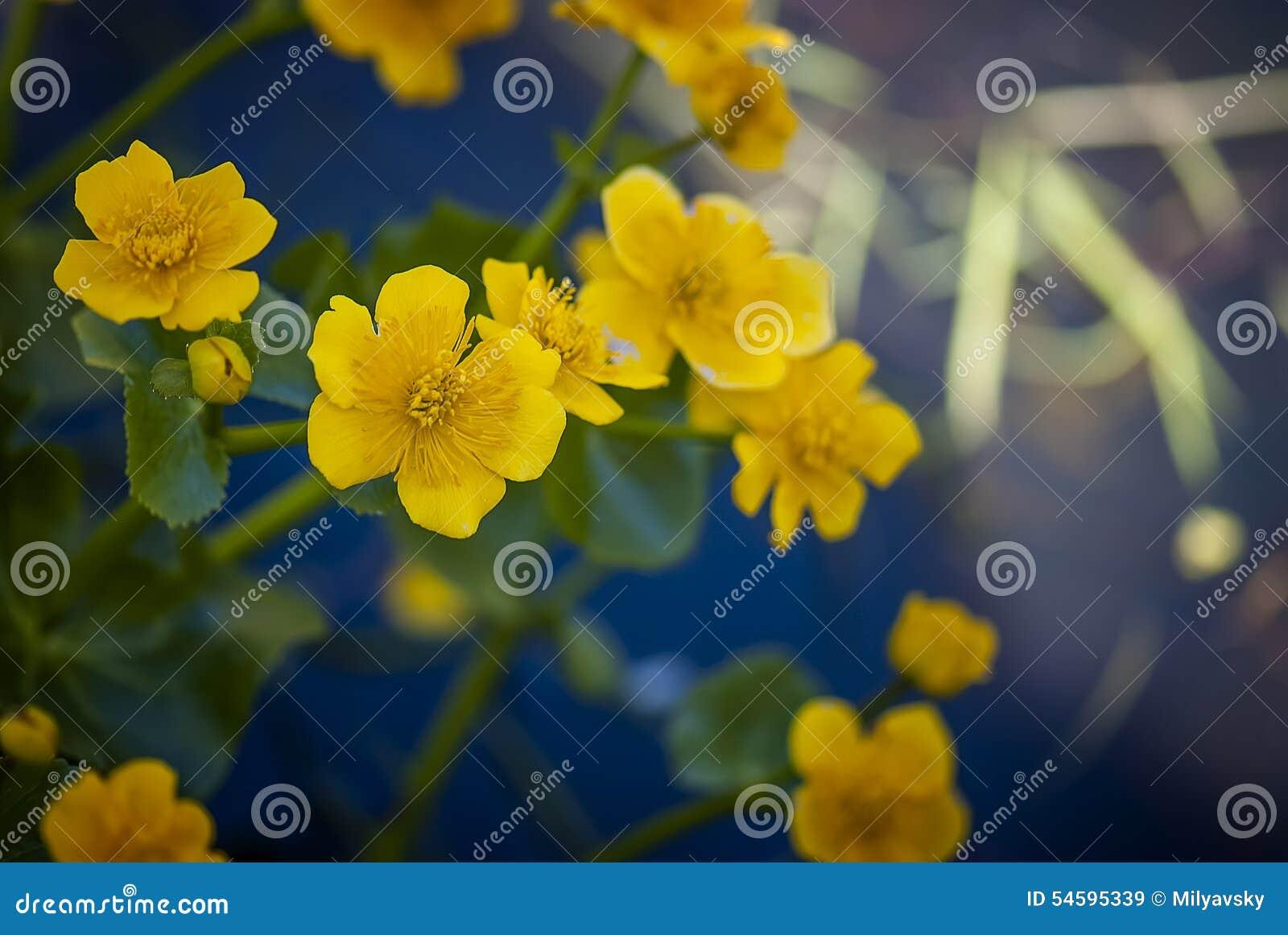 Желтые цветки болота, взгляд макроса
