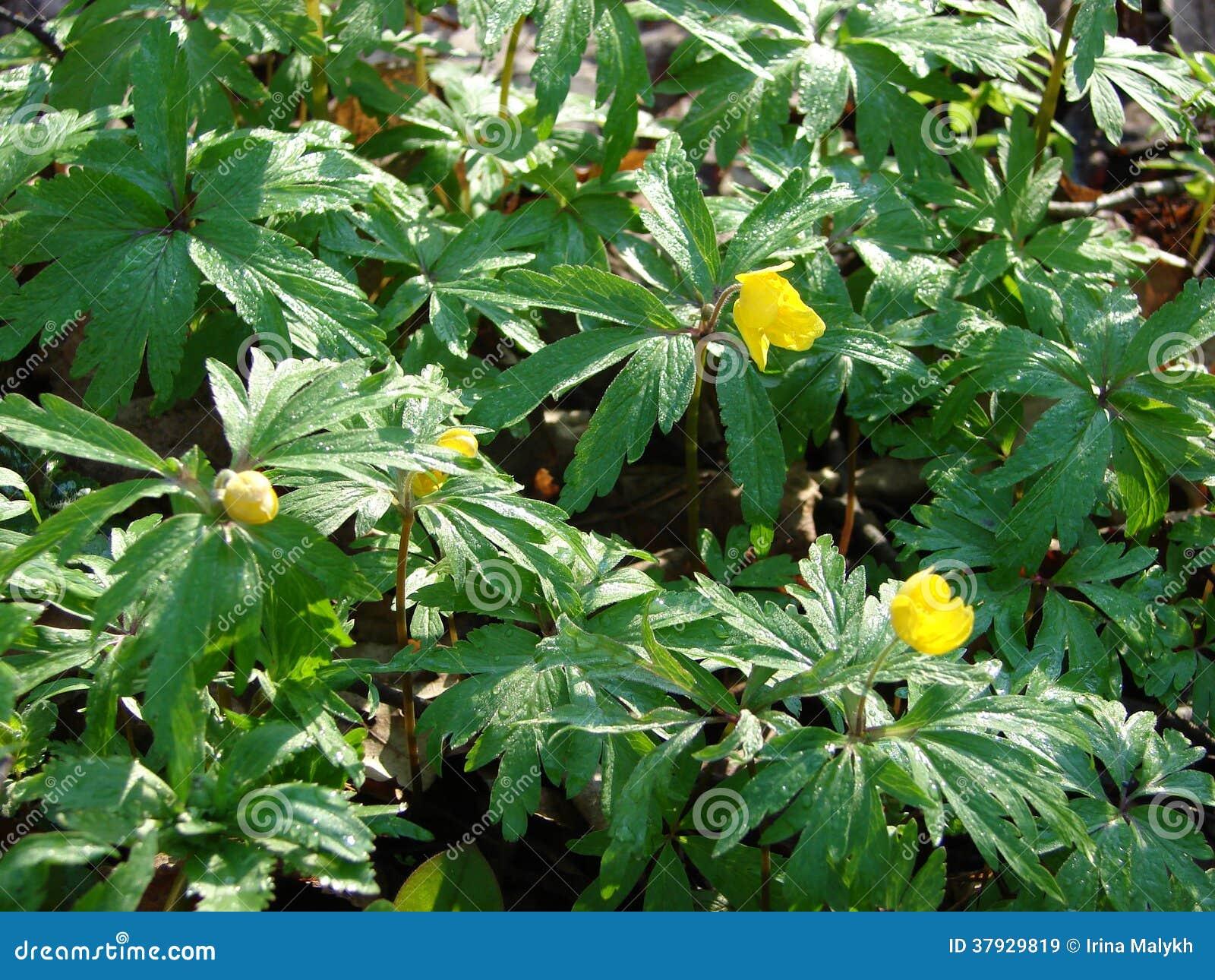 Желтые цветки весны