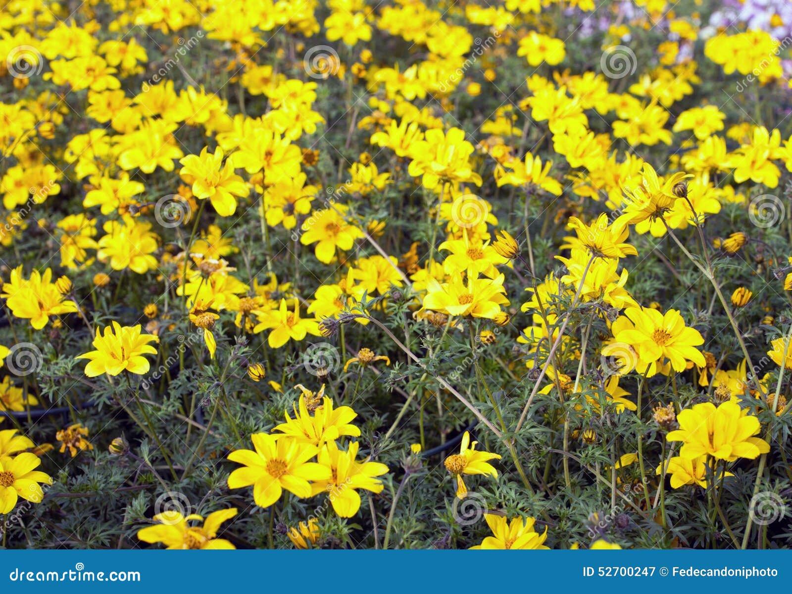 Желтые цветки вызвали Bidens весной