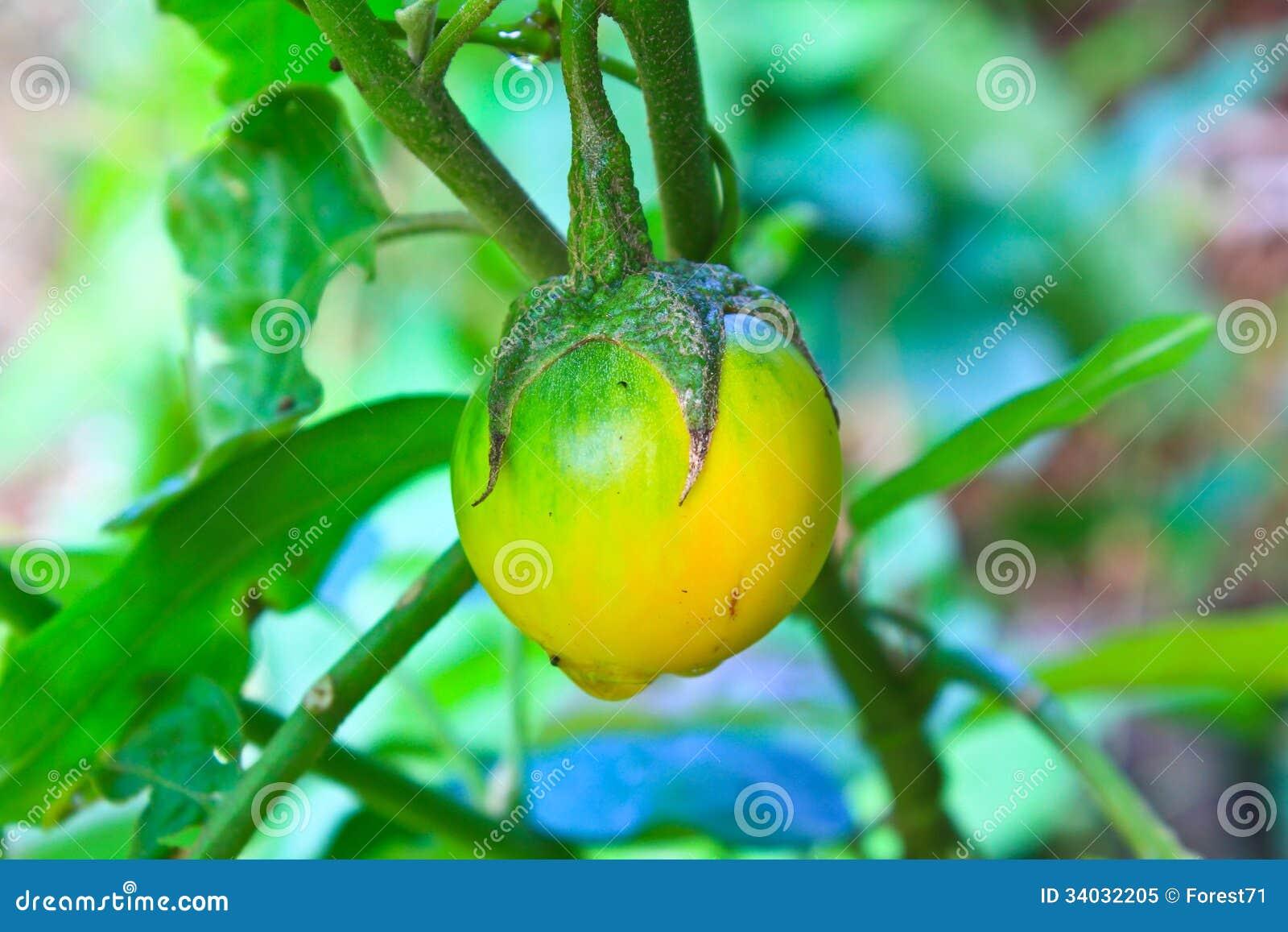Желтый баклажан на дереве