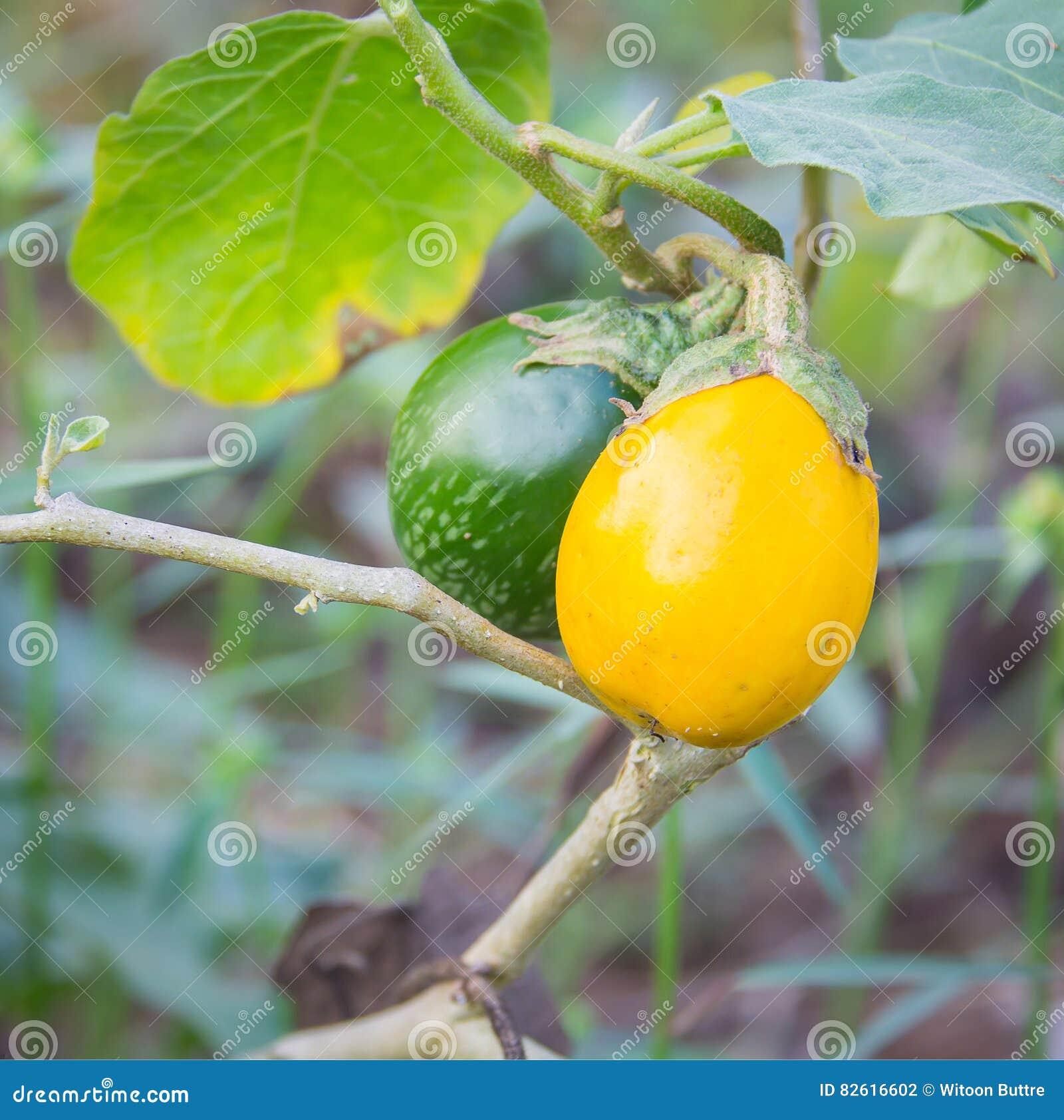 Желтый зрелый баклажан