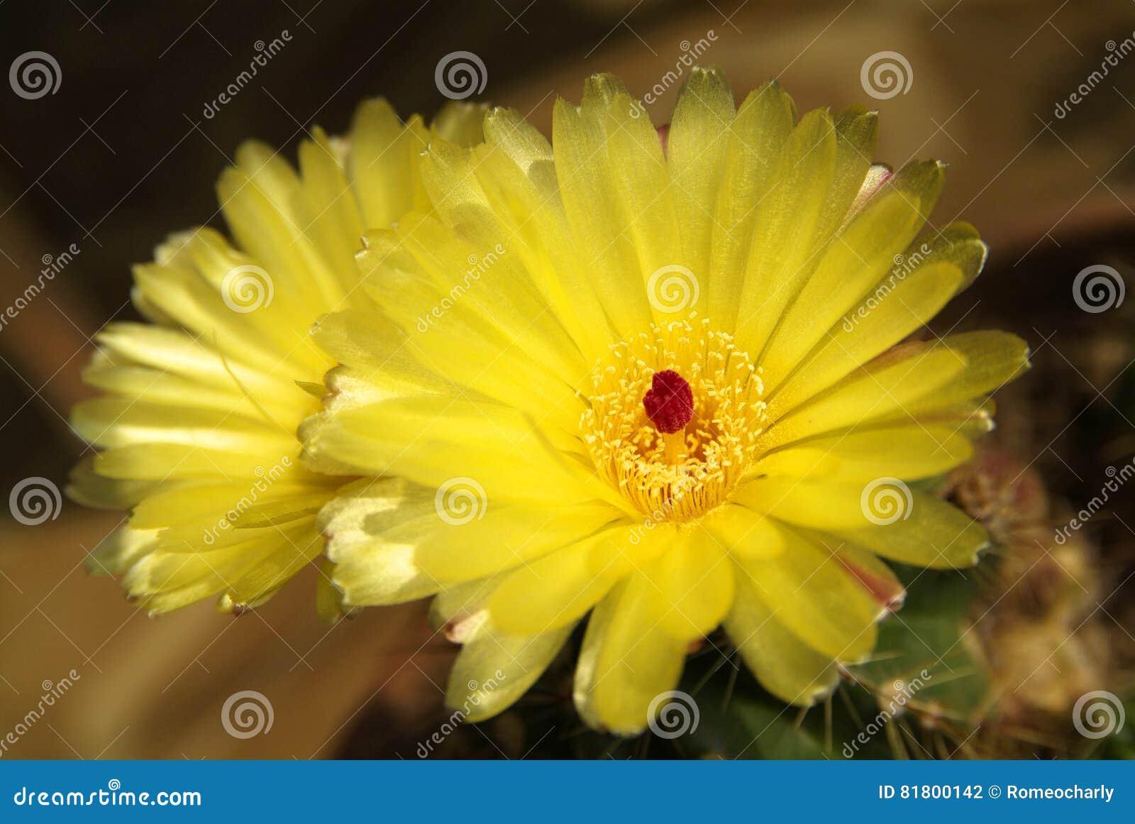 Желтый кактус