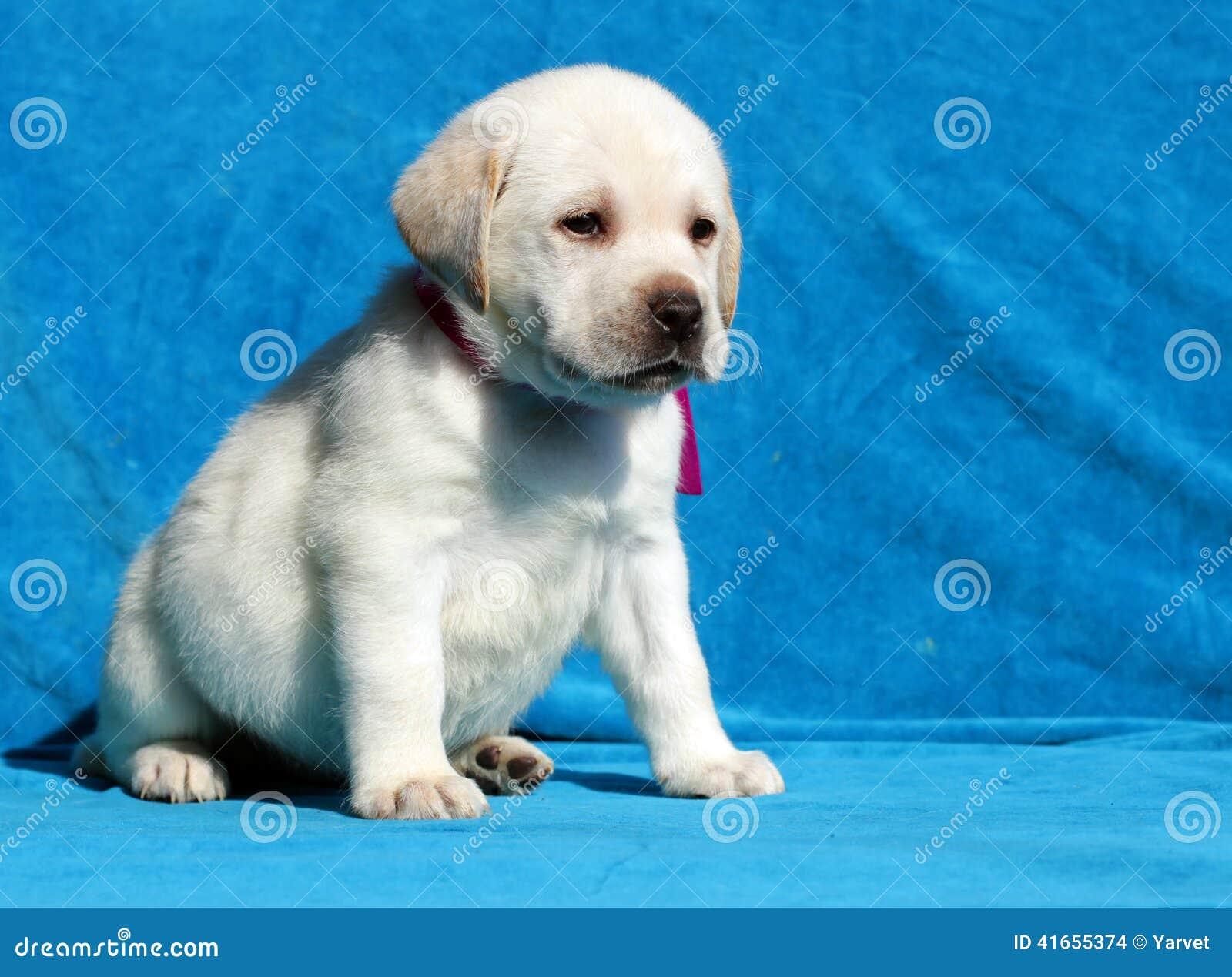 Желтый конец портрета щенка labrador вверх