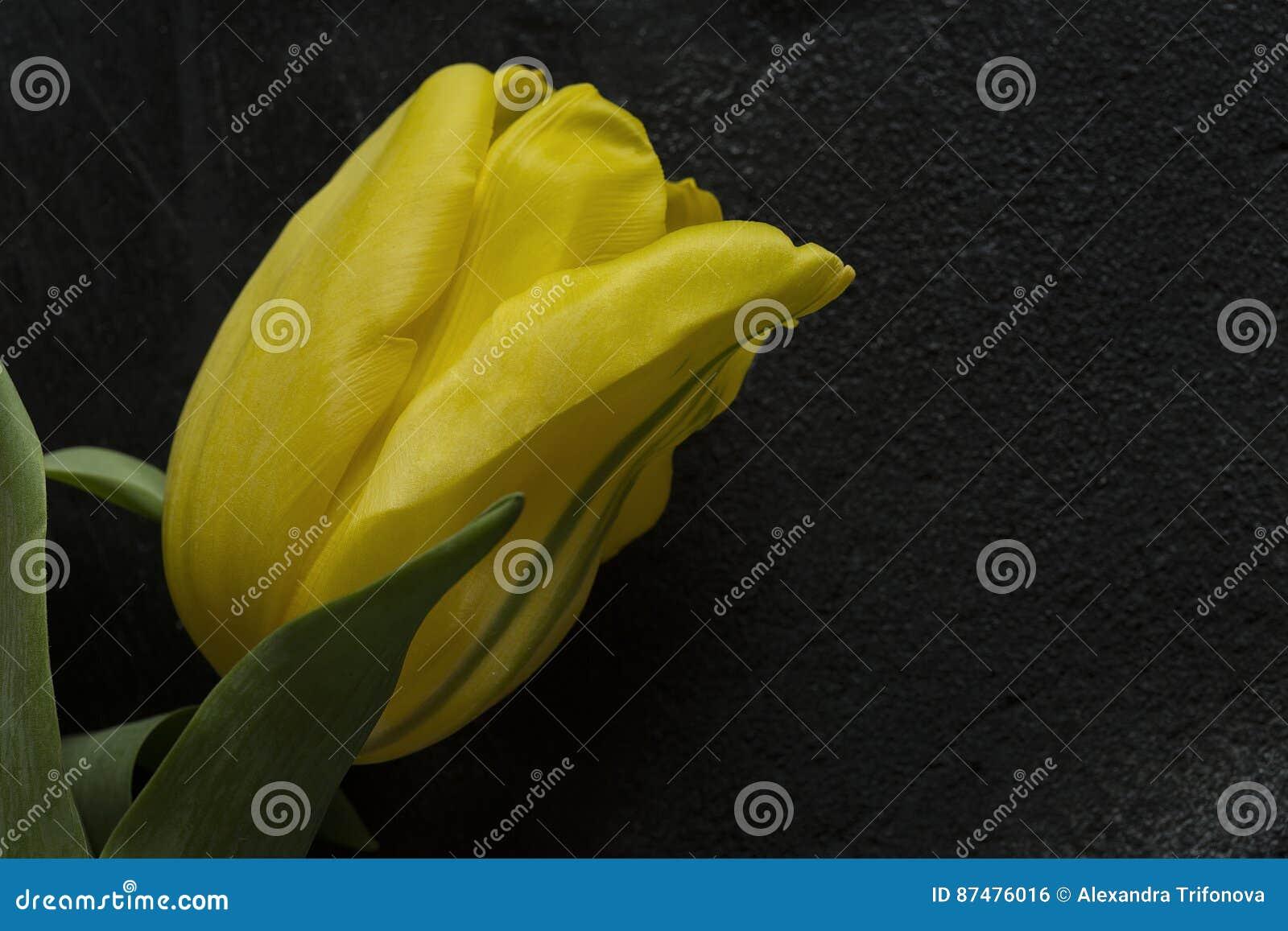 Желтый тюльпан на черной предпосылке