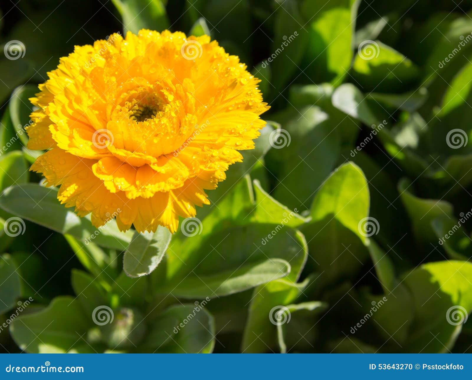 Желтый цветок calendula