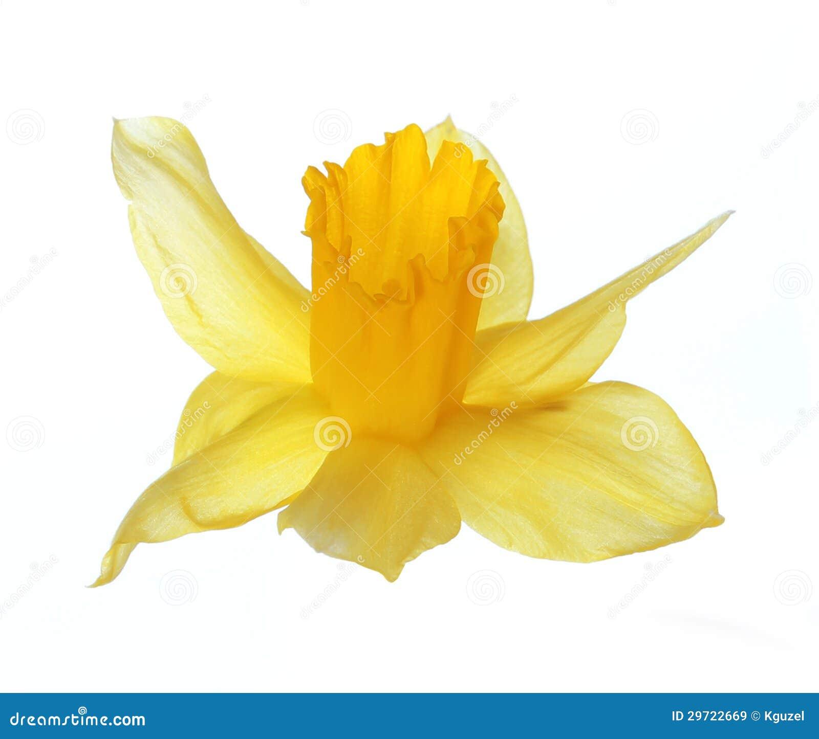Желтый цветок narcissus изолированный на белизне
