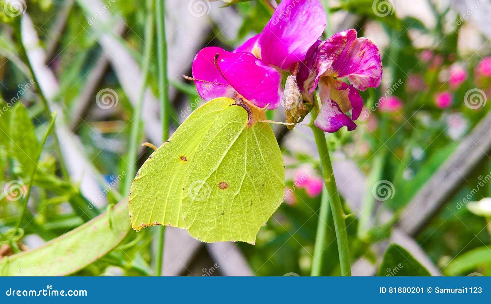 желтый цвет вектора сетки бабочки