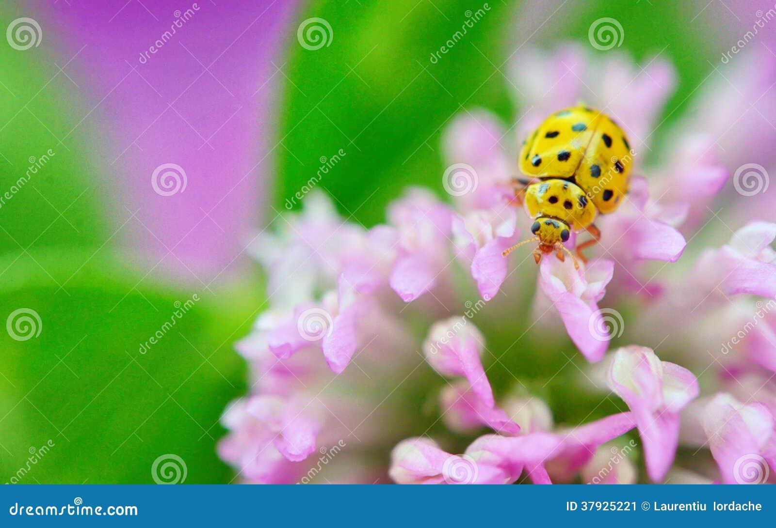 Желтый ladybug на фиолетовых цветках