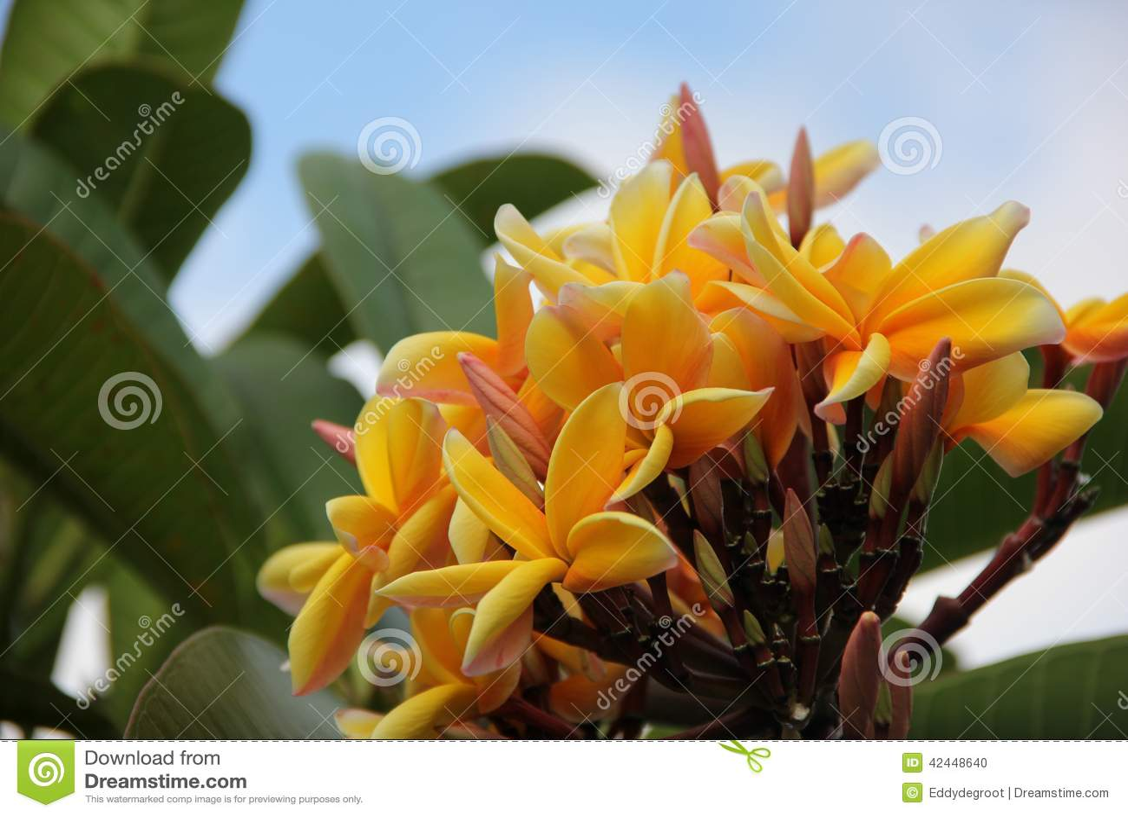 Желтый Plumeria