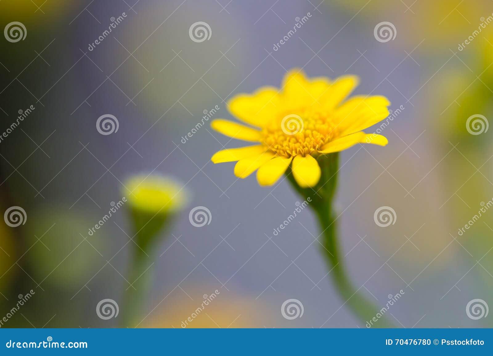 Желтый Zinnia