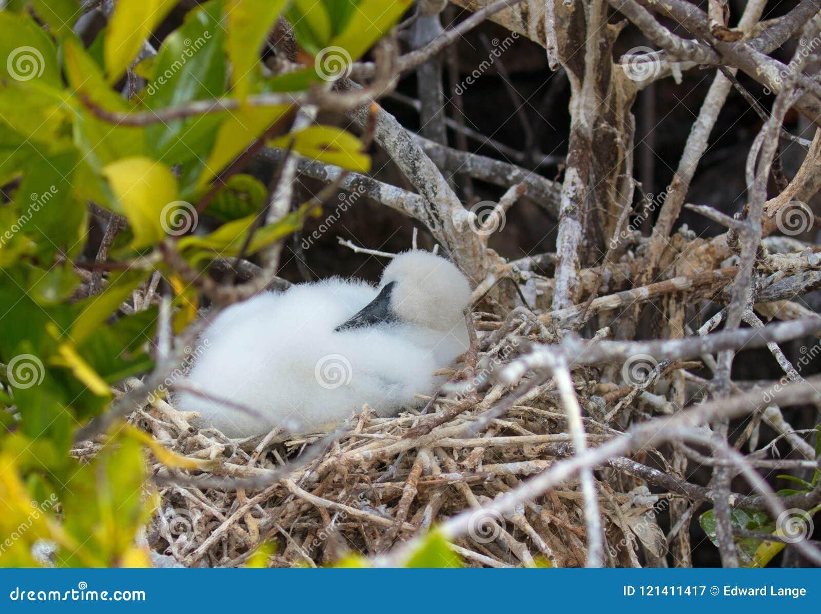 Живая природа островов Галапагос с замаскированными птицами Boobie