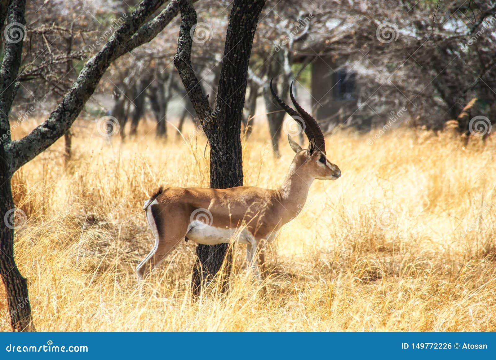 Живая природа Эфиопии, импала