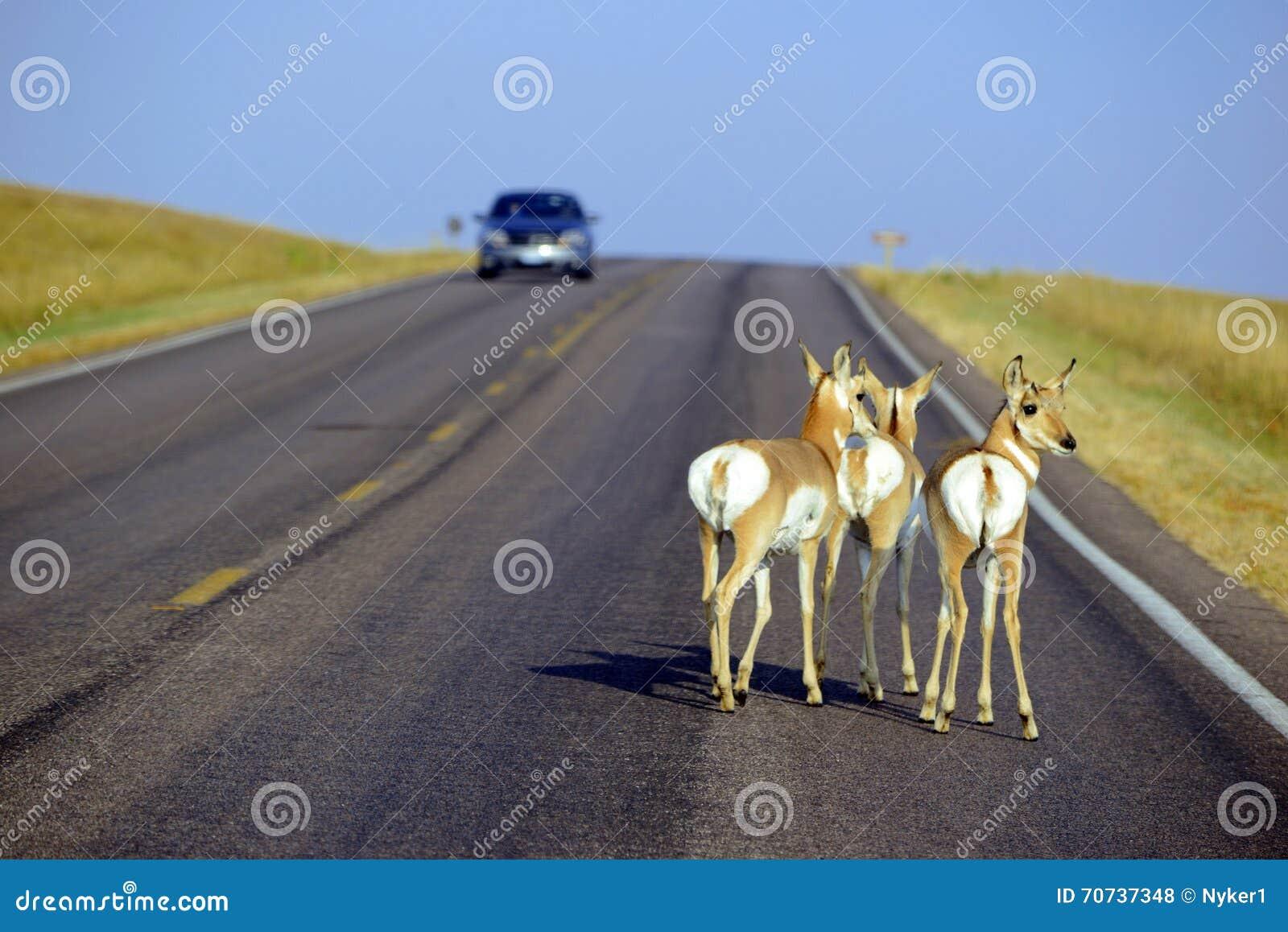 Живая природа на дороге с автомобилем