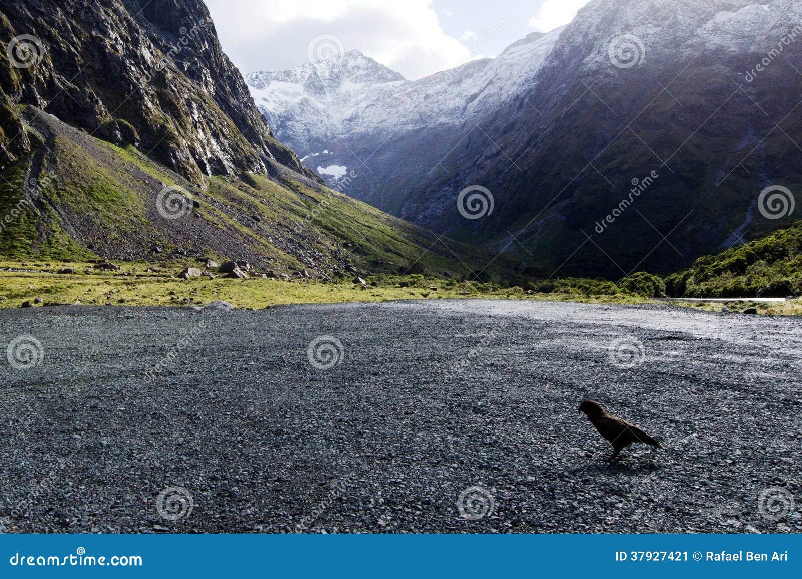 Живая природа NZ NZL Kea - Новой Зеландии
