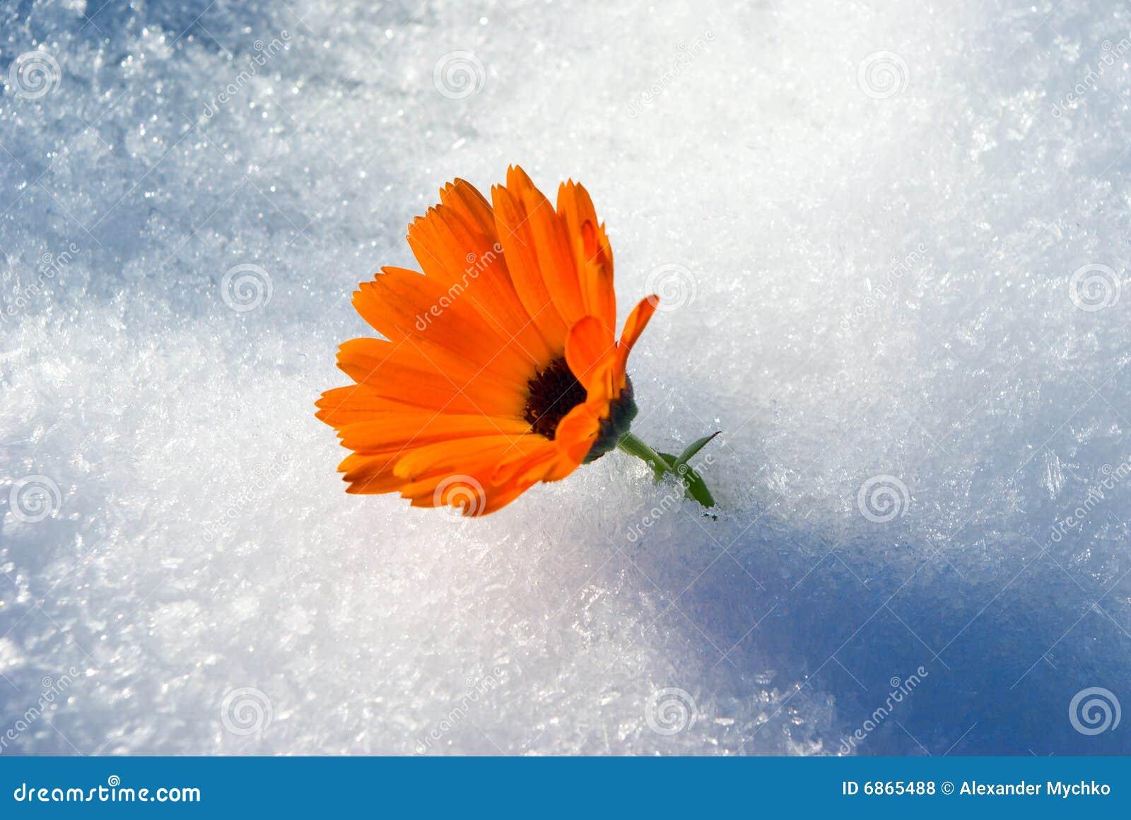живой яркий первый снежок цветка вниз