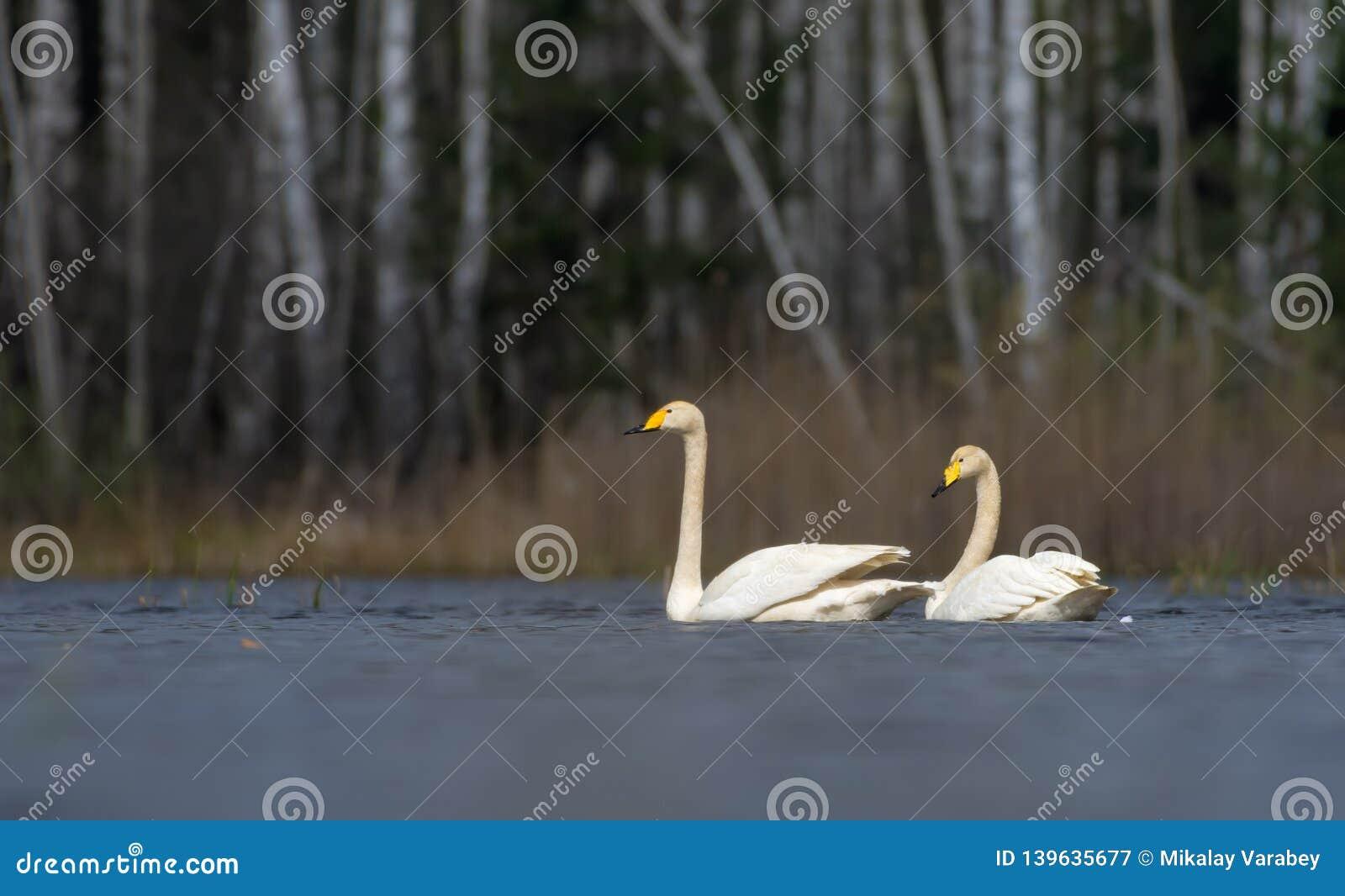 Живописный взгляд на парах взрослых лебедей whooper плавая близко к одину другого с белыми пер и оперением