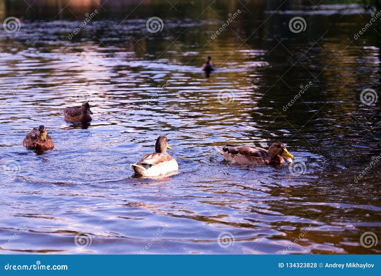 Живописный пруд в парке лета Стадо питания уток на хлебе