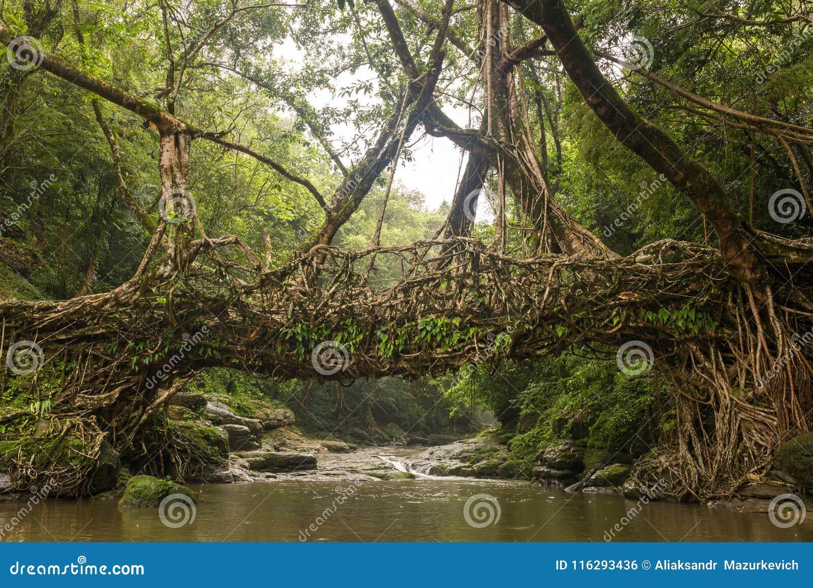 Живущий мост корней около деревни Riwai, Cherrapunjee, Meghalaya, Индии