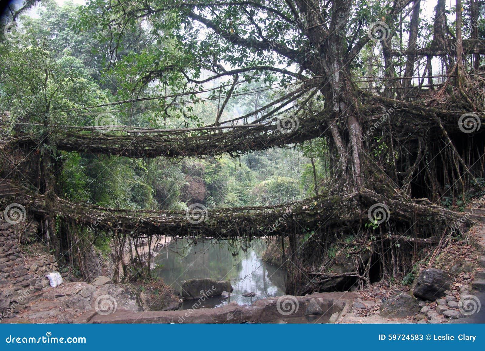 2 живущих моста корня протягивают через поток внутри