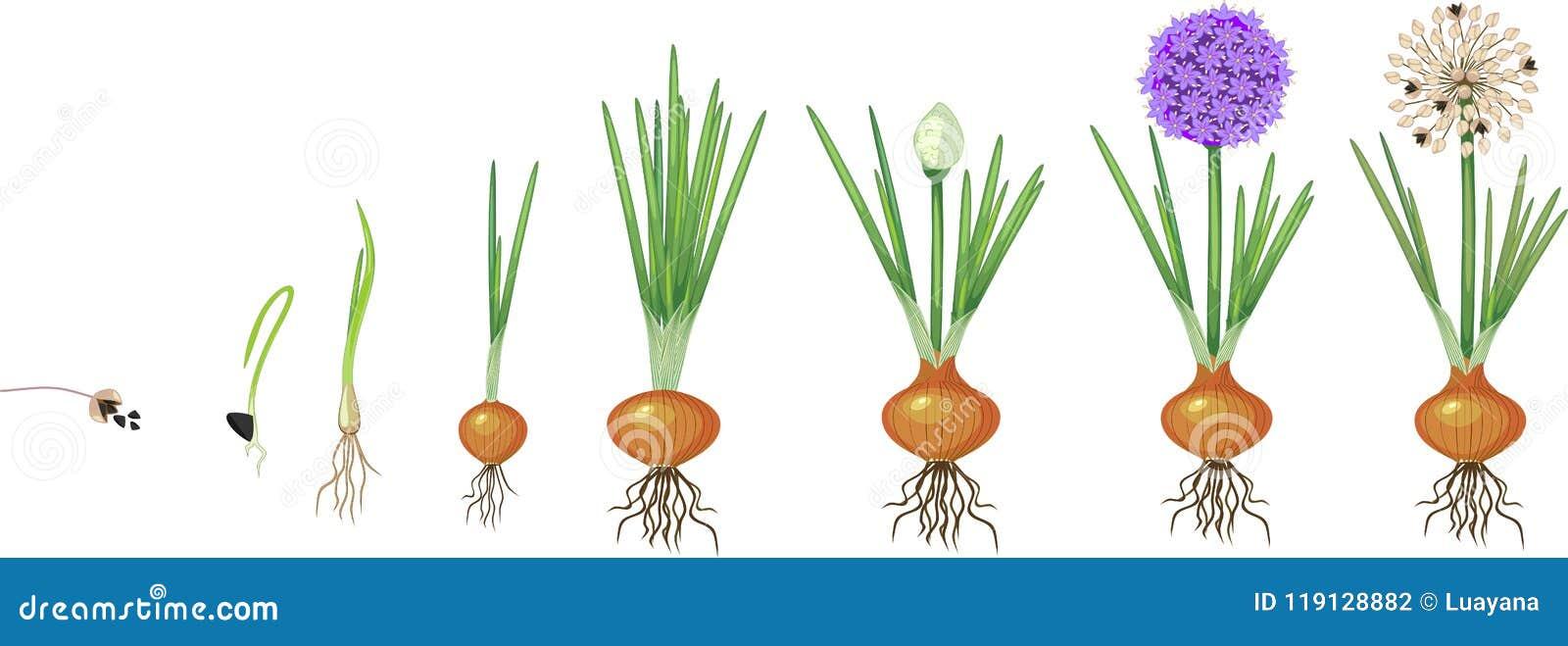 коренастых этапы роста лука в картинках съемка других