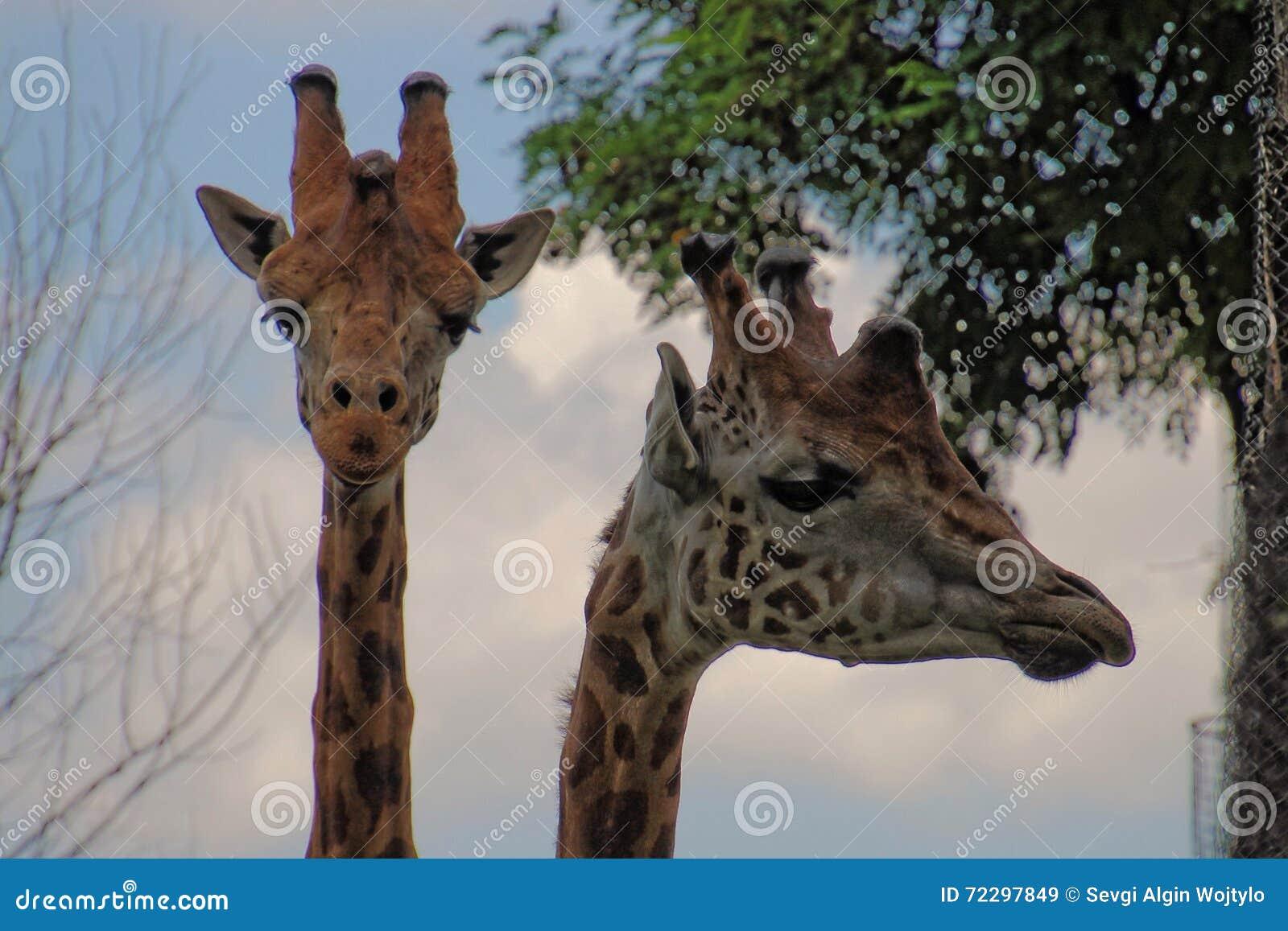 Download Жирафы на зоопарке стоковое изображение. изображение насчитывающей backhoe - 72297849