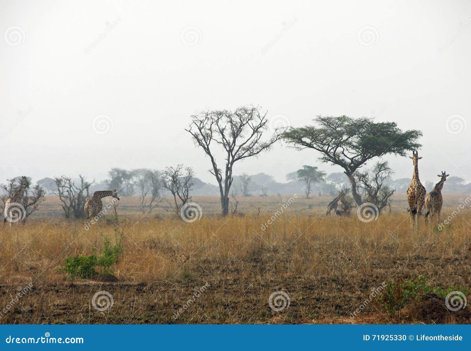 Жирафы табуна идя через сухие иссушанные равнины после куста увольняют Африка