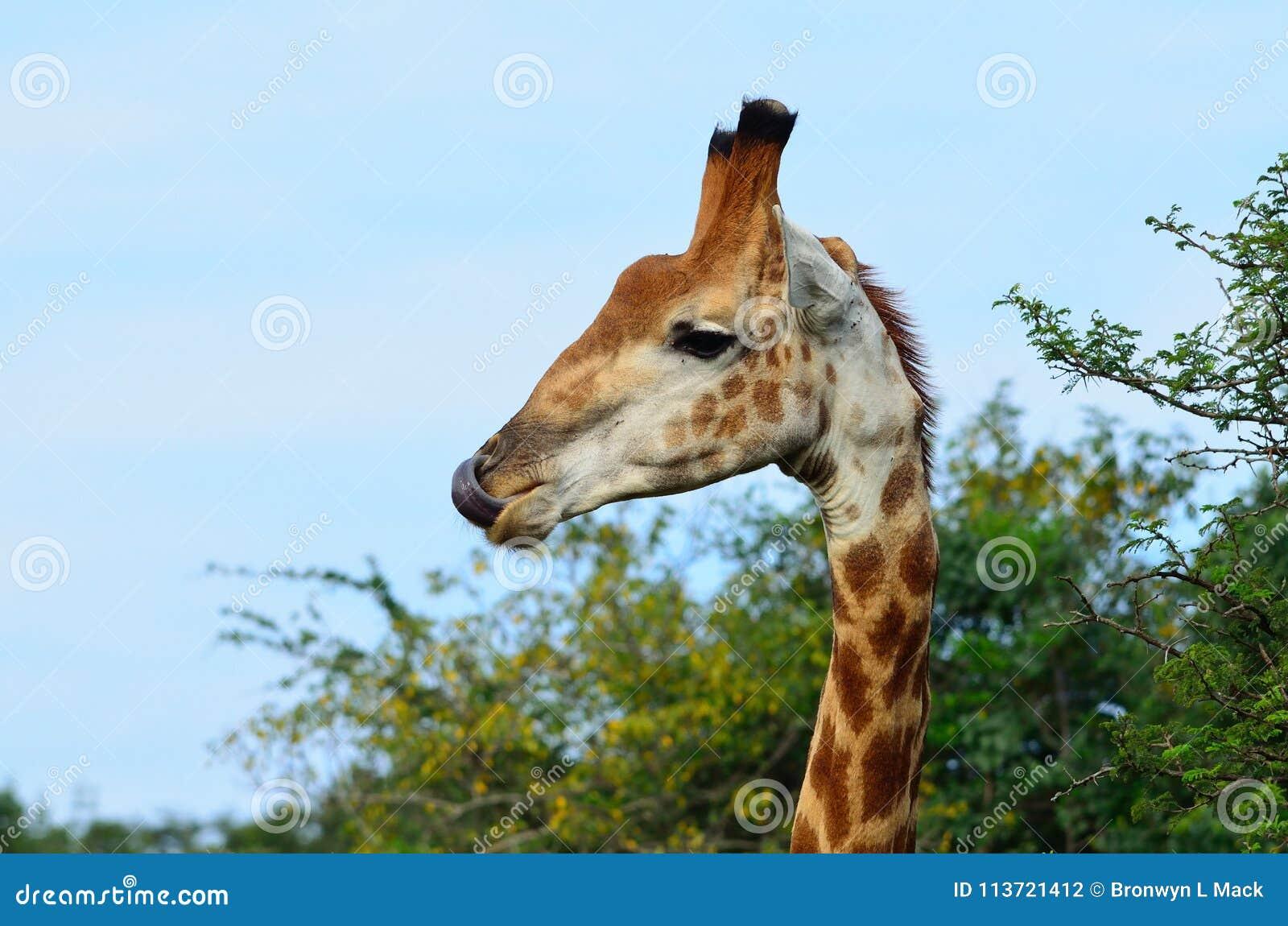Жираф лижа свой нос в Африке
