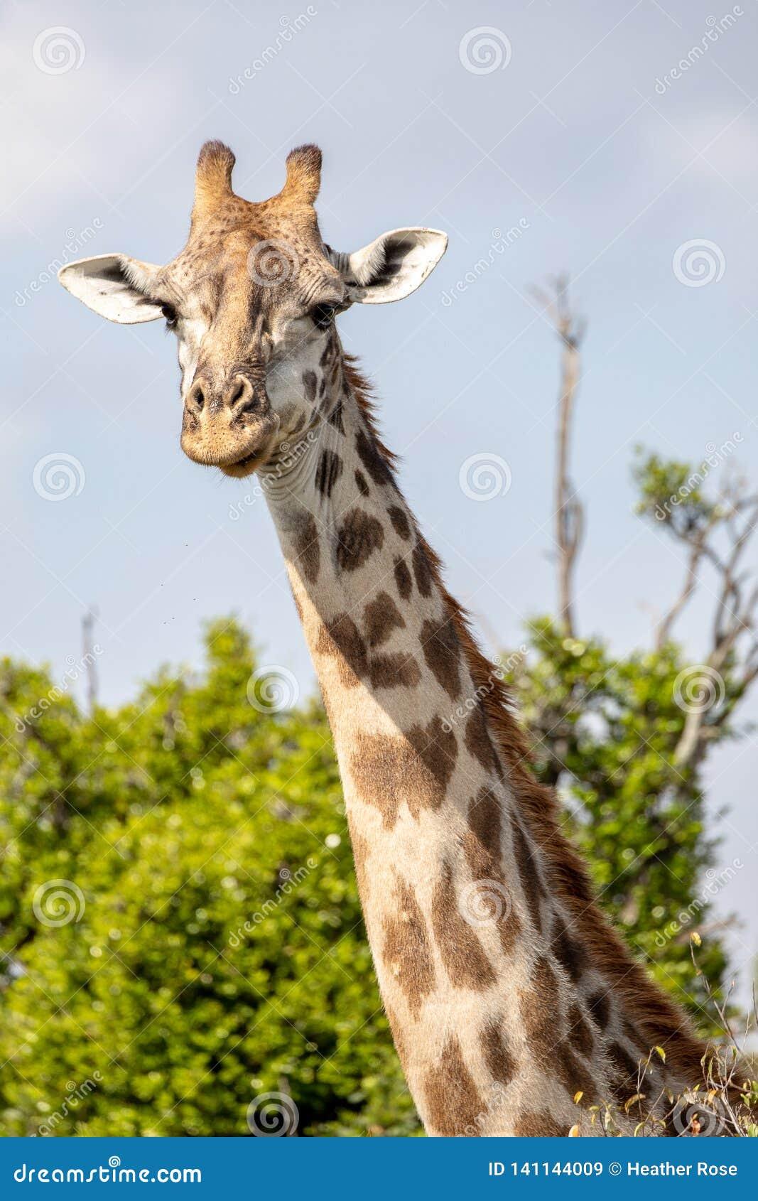 Жираф Mara Masai, на сафари, в Кении