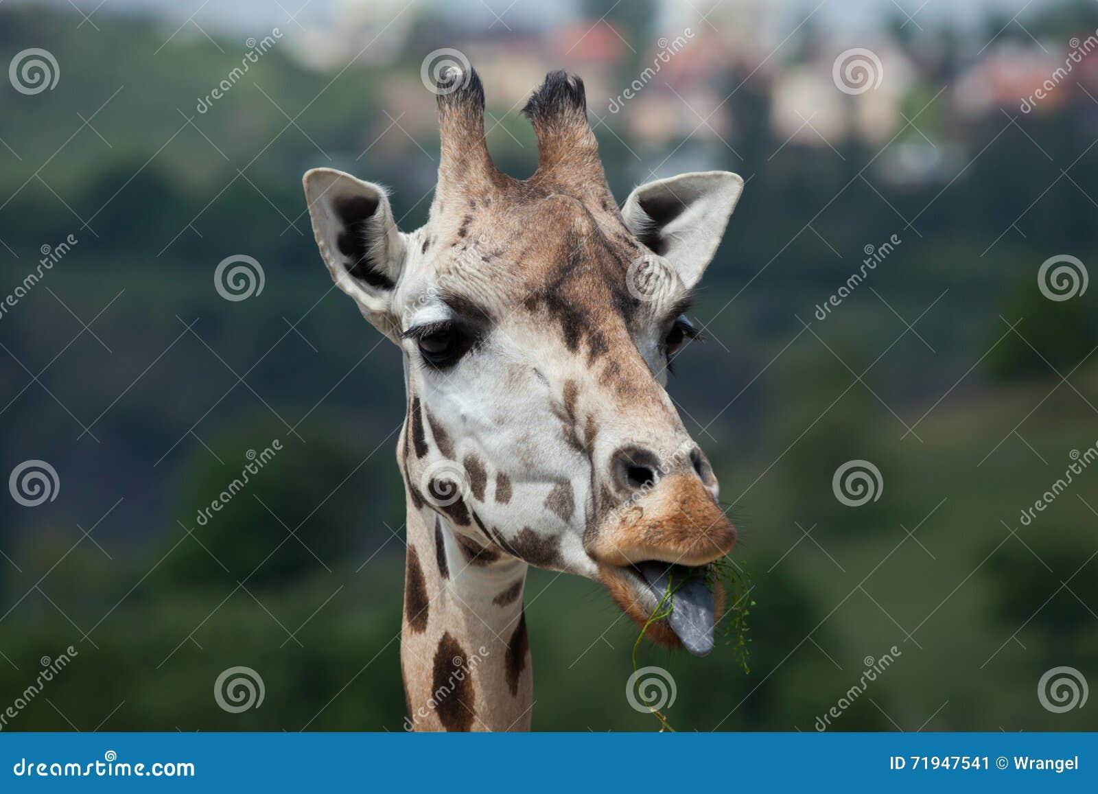 Жираф Rothschild (rothschildi camelopardalis Giraffa)