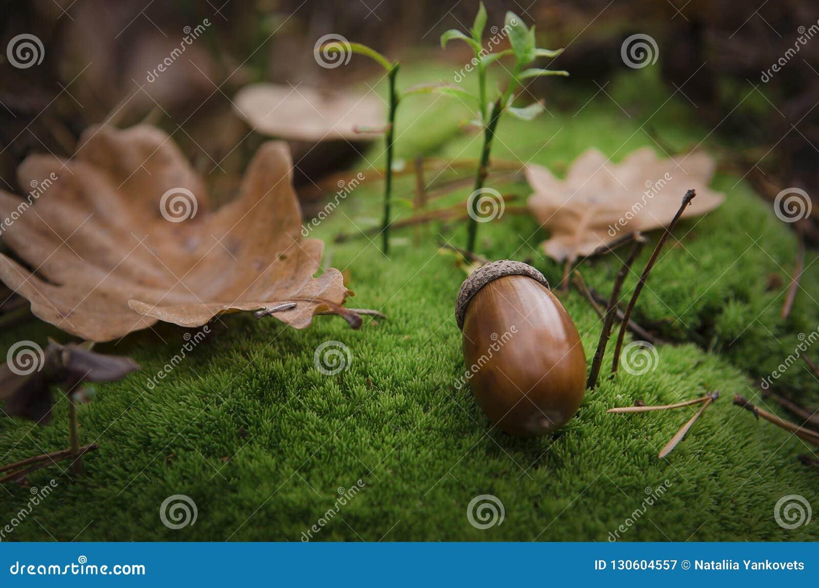 Жолудь Брауна лежит на свободной зеленой подушке мха около коричневых лист
