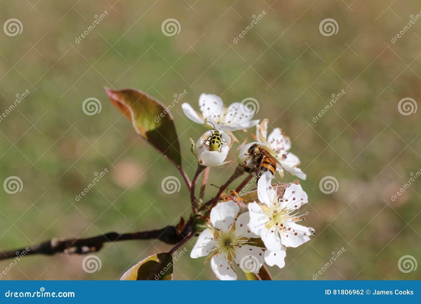 Жук огурца и пчела меда