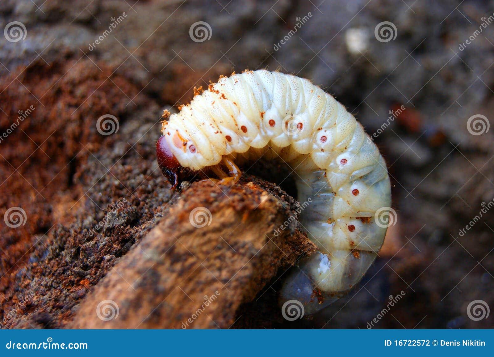 жук расшивы