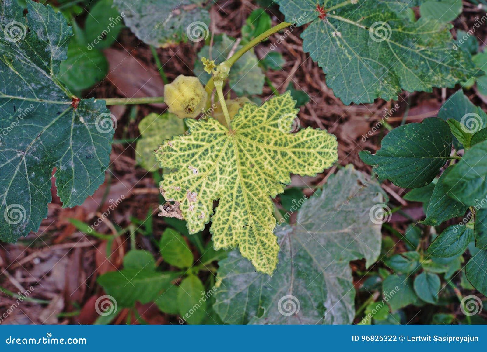 Заболевание лист бамии