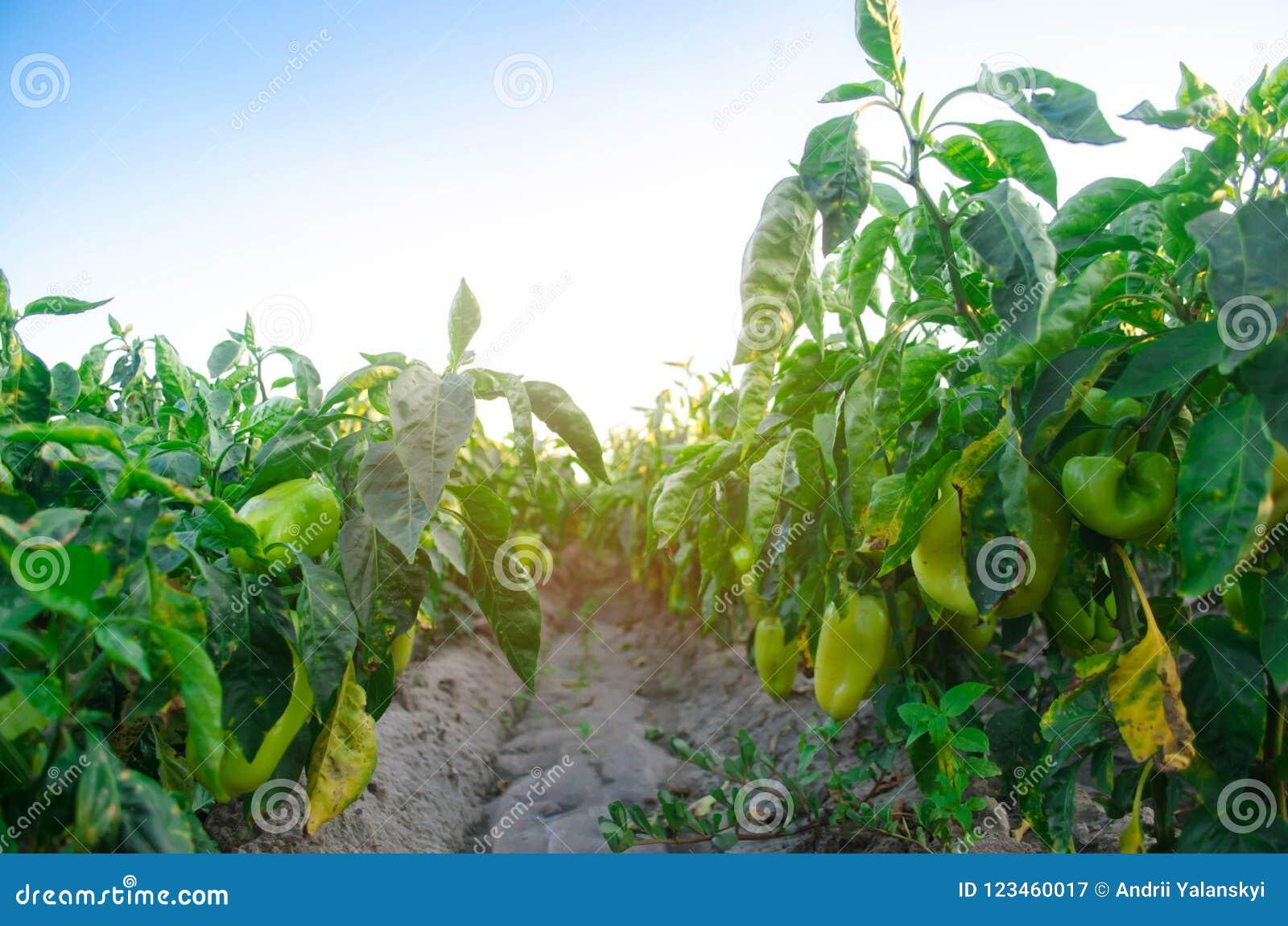 Заболевание перца причинено вирусом Phytophthora Infestans Земледелие, сельское хозяйство, урожаи заболевание овощей на поле