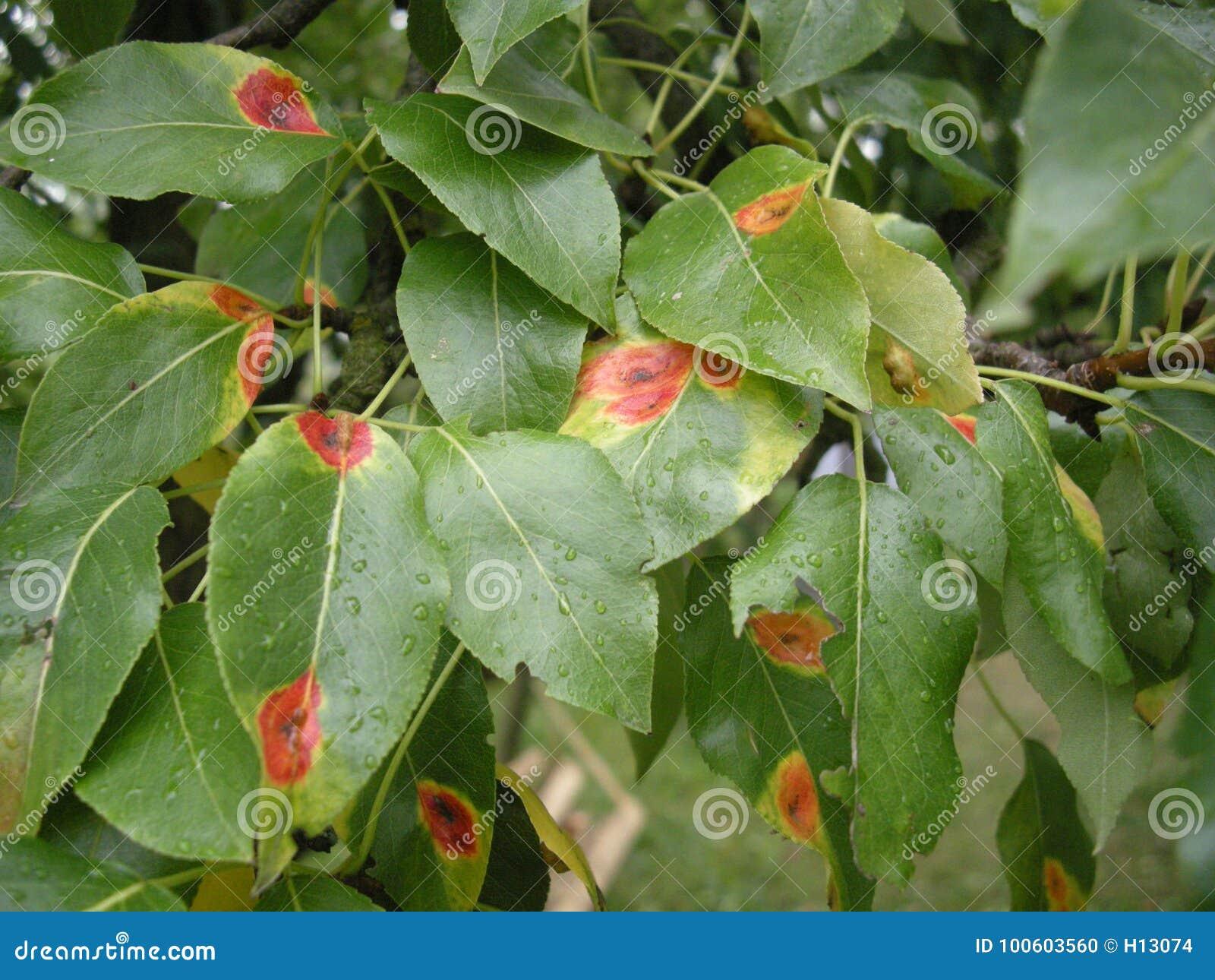 Заболевание sabinae Gymnosporangium ржавчины груши на грушевом дерев дереве листает Падения воды