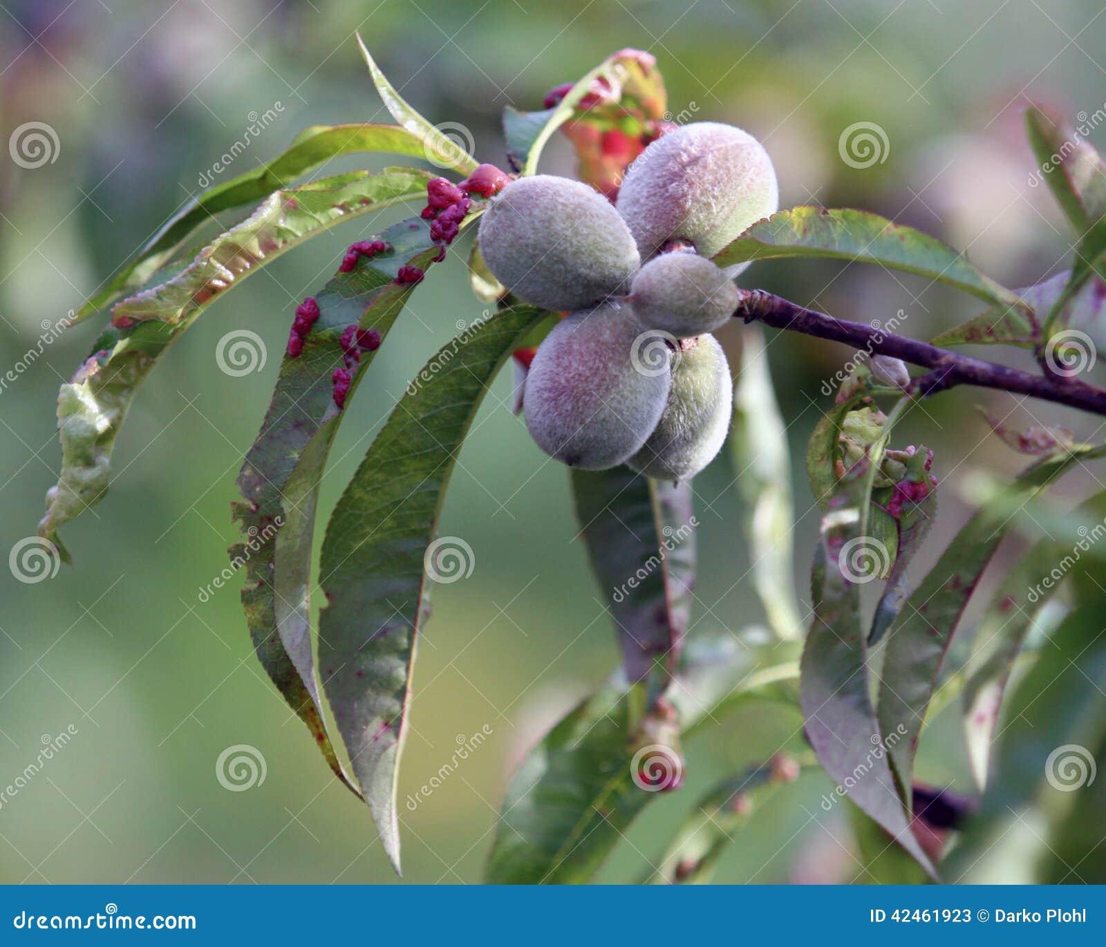 Заболевание скручиваемости лист персика