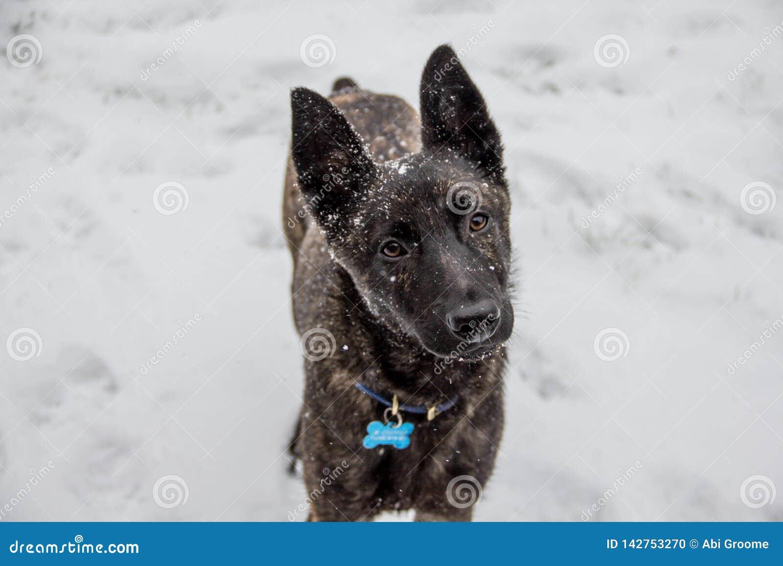 Завещая партнер, собака породы бельгийского чабана перекрестная смотрит любяще на камере