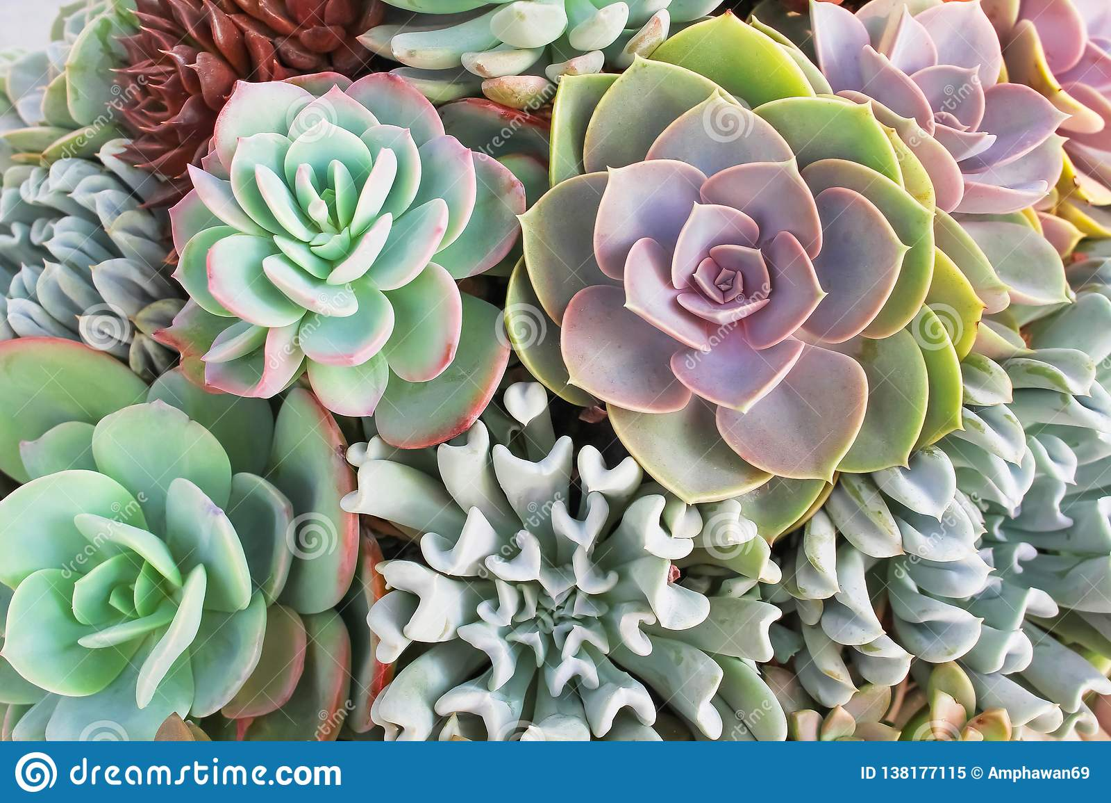 Заводы верхнего viewbeautiful кактуса роз каменного зацветая орнаментальные текстурируют естественное для предпосылки