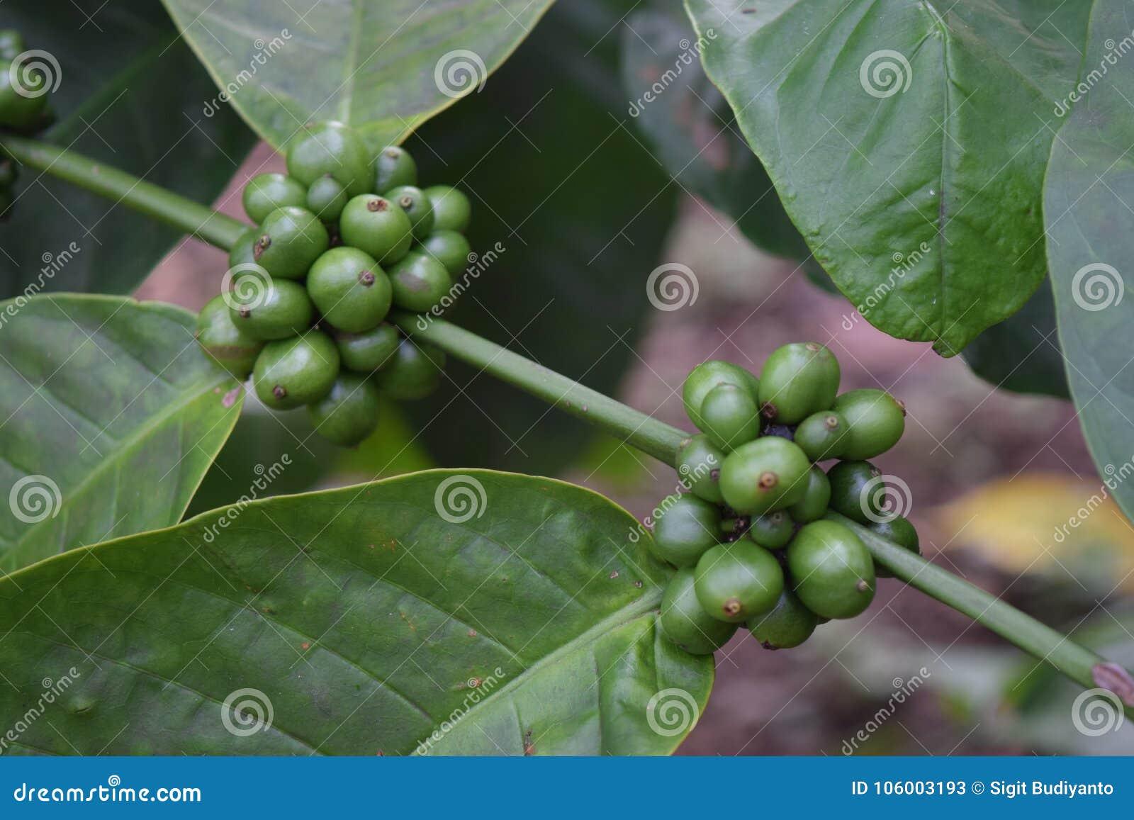 Заводы кофе в саде