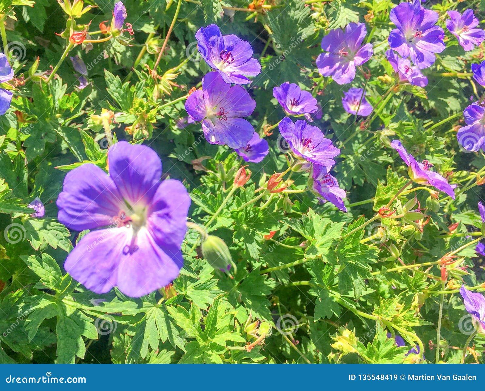 Заводы Rosanne гераниума цветя в конце-вверх