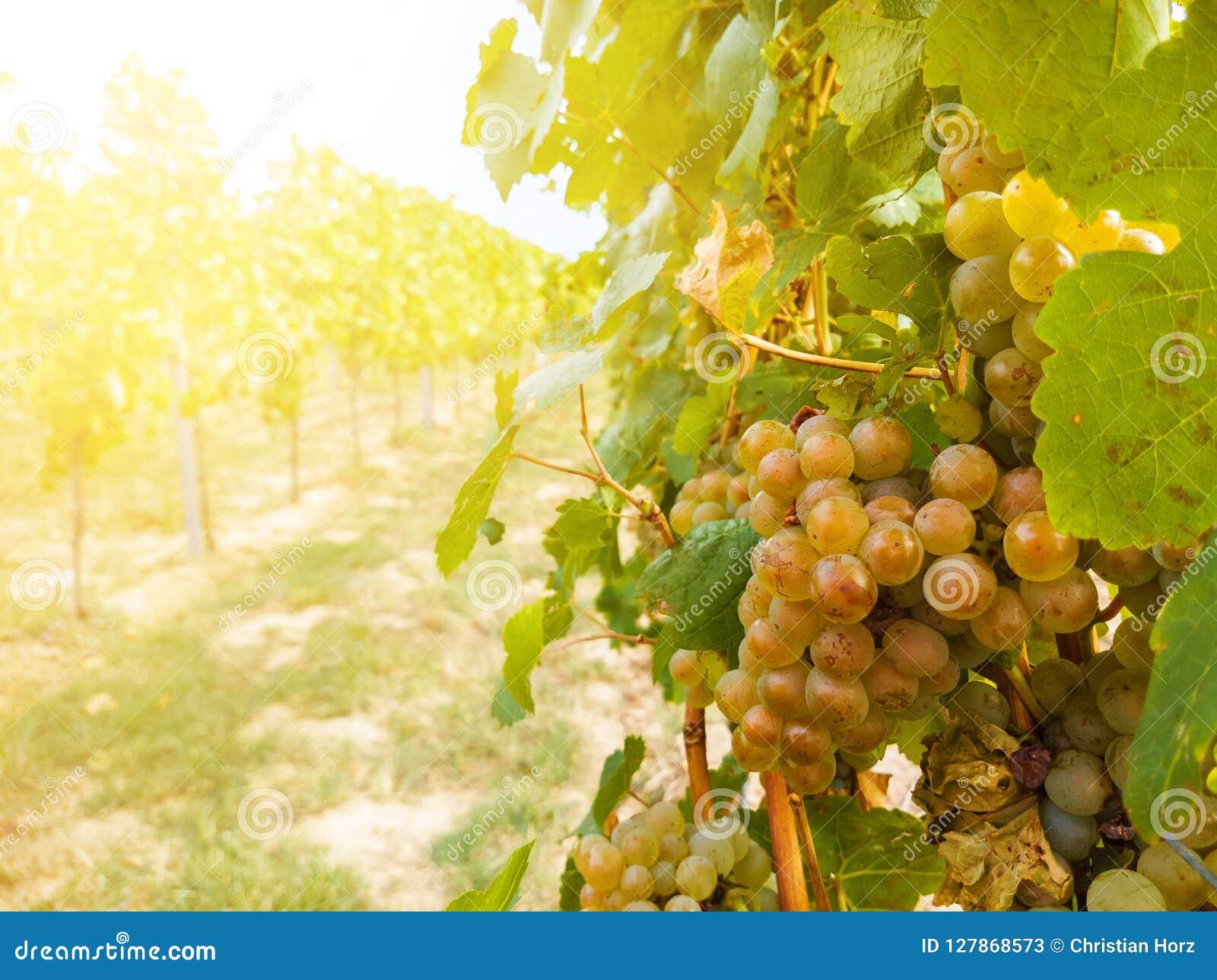 Завод виноградного вина и зрелая связка винограда в винограднике