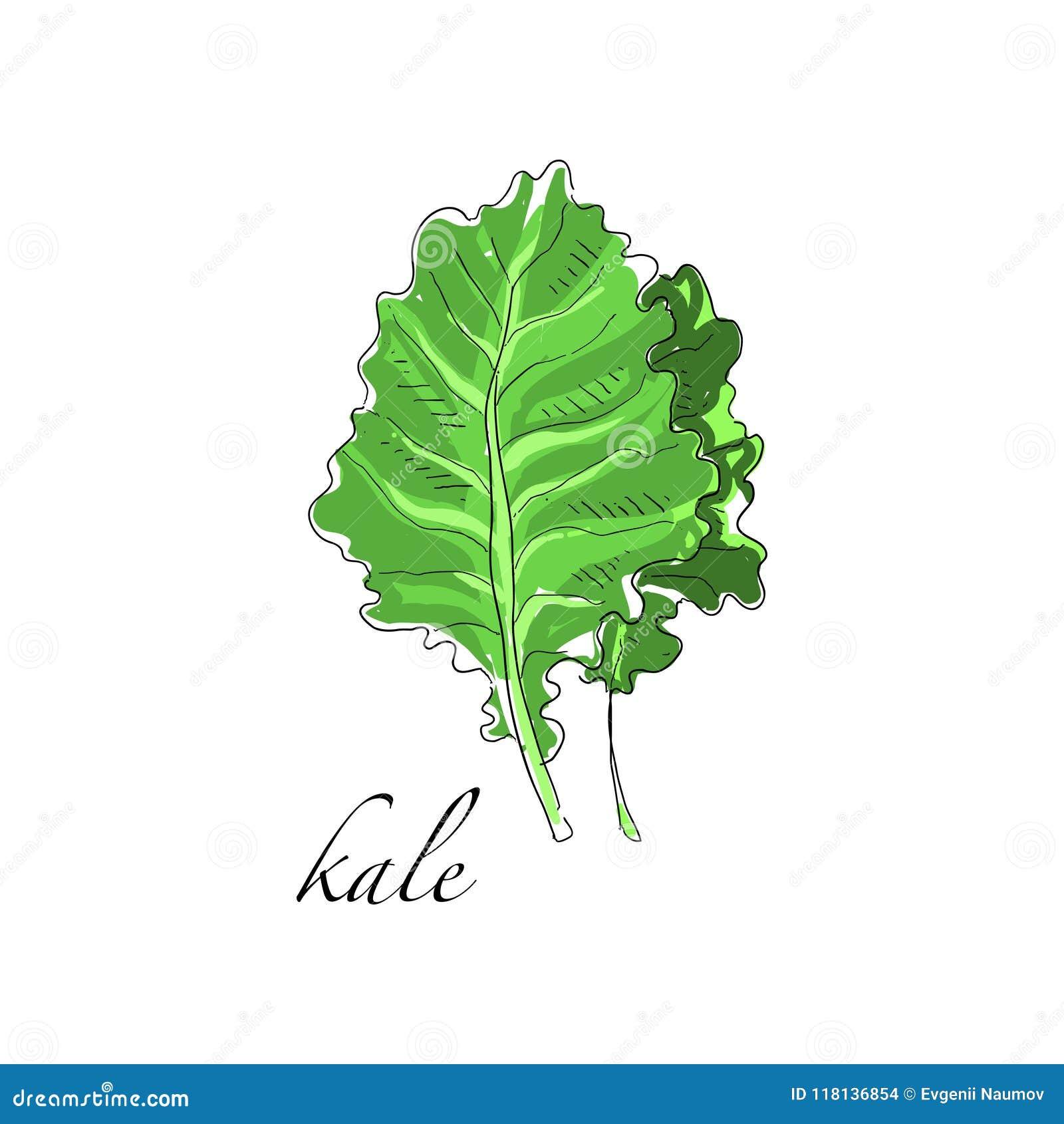 Завод листовой капусты свежий кулинарный, зеленая приправа варя траву для супа, салат, мясо и другие блюда вручают вычерченный ве