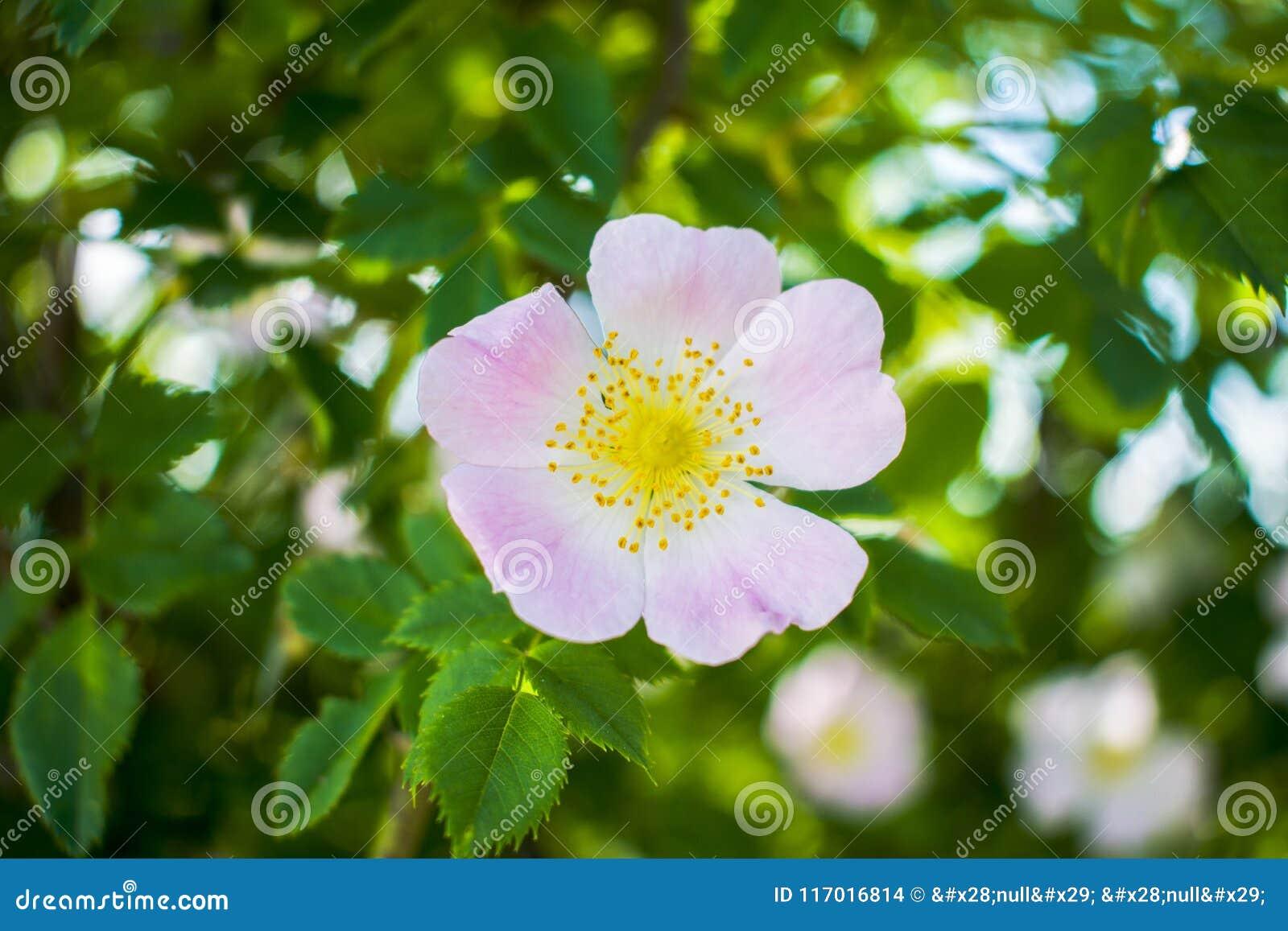 Завод сада бедер красивого цветка зацветая