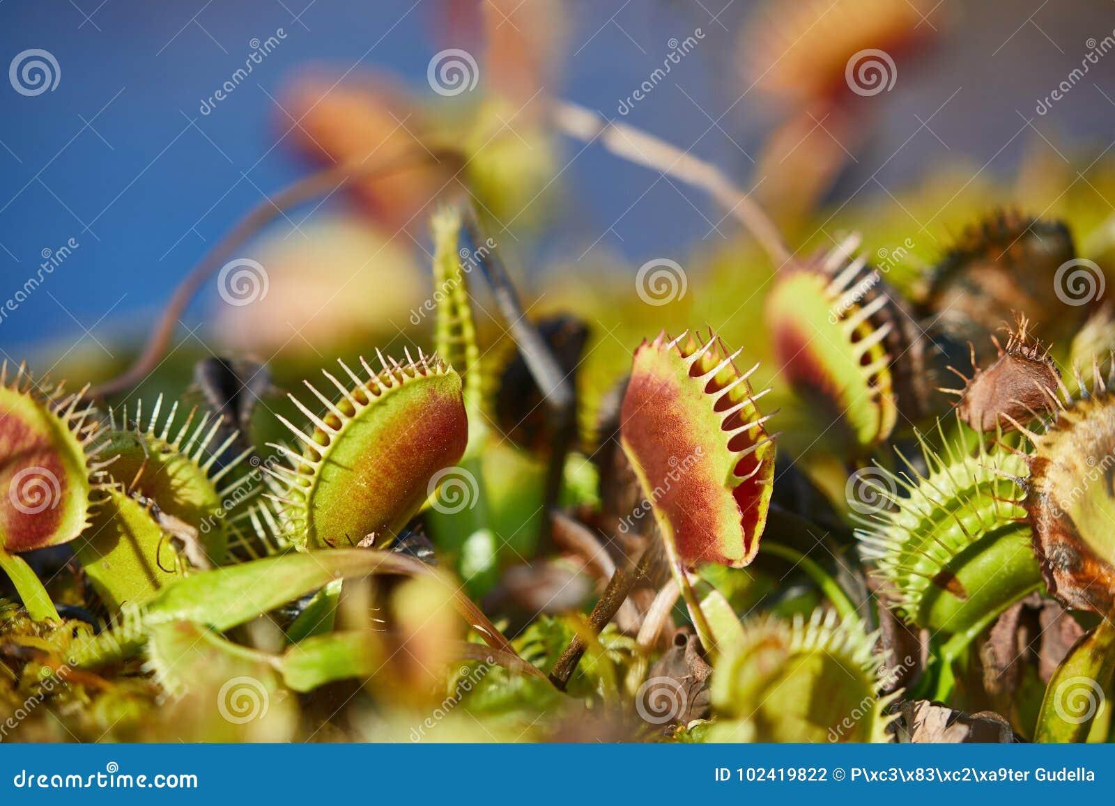 Завод flytrap Венеры плотоядный