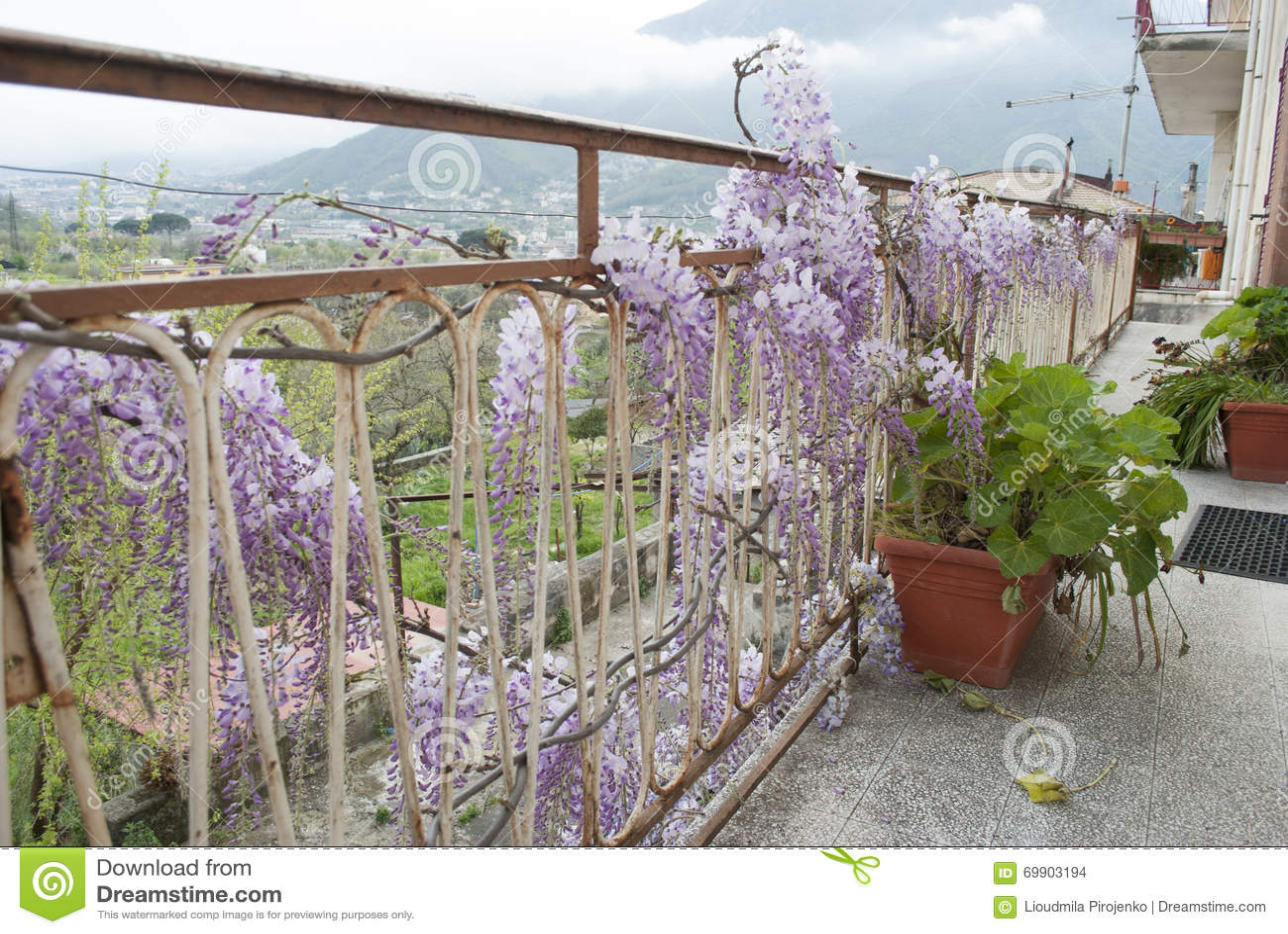 Завод глицинии в старом дворе с другими цветками