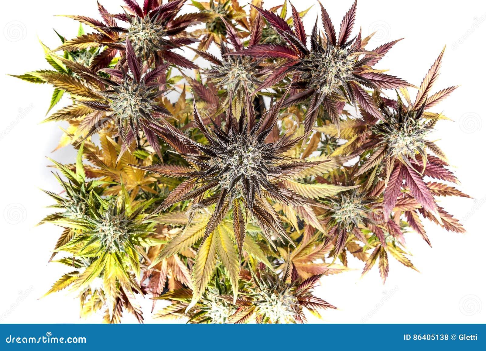 конопляные семена полезные свойства